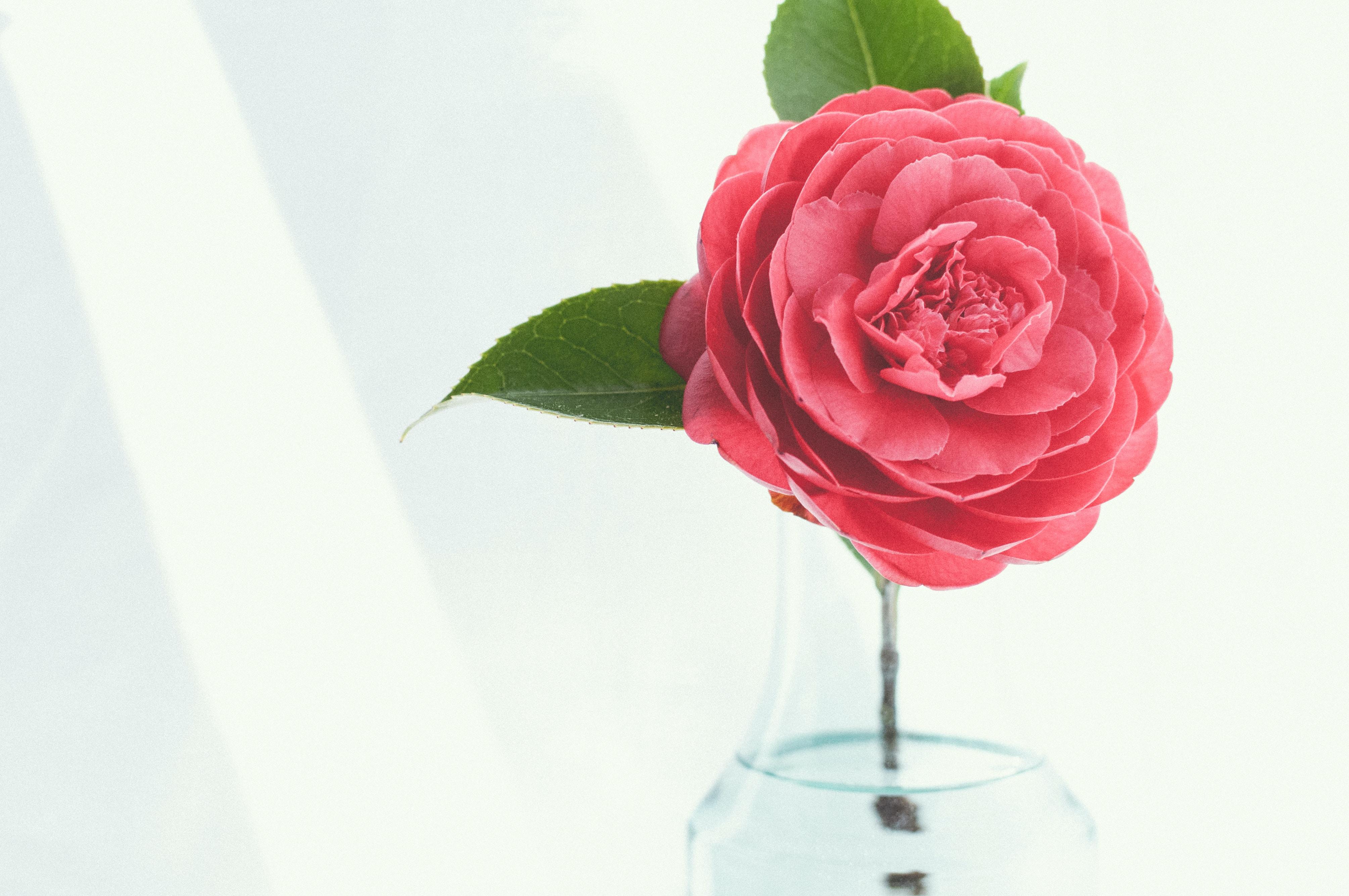 pink petaled flower on clear glass vase