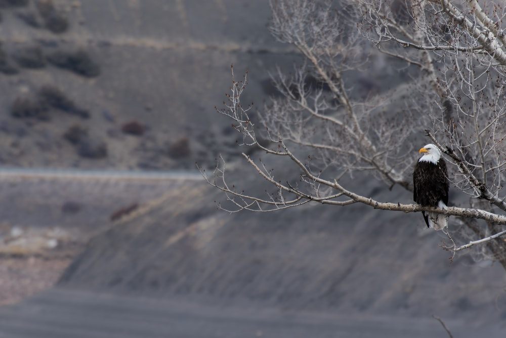 shallow focus photography of bald eagle resting on tree branch