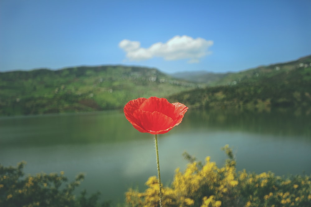 red petaled flower with lake and body of water as background photo