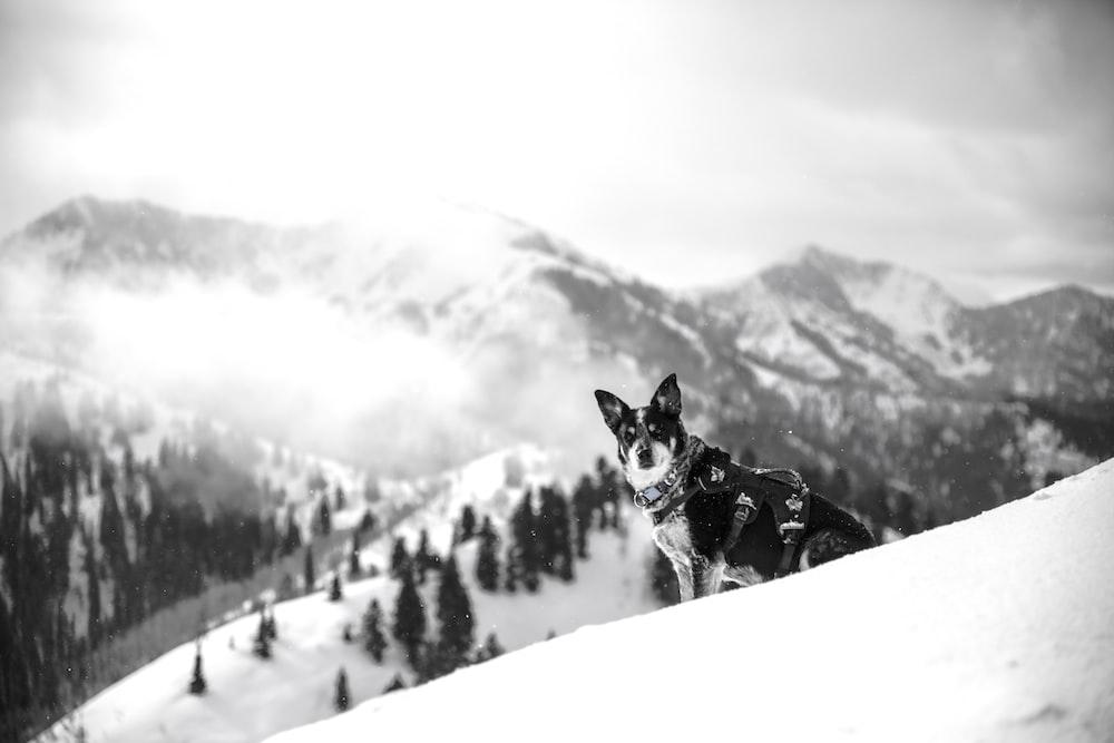 adult black and white Siberian husky sitting on snow