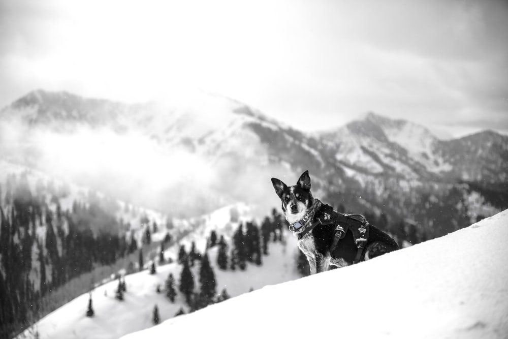 adult black and white Siberian husky sitting on snow