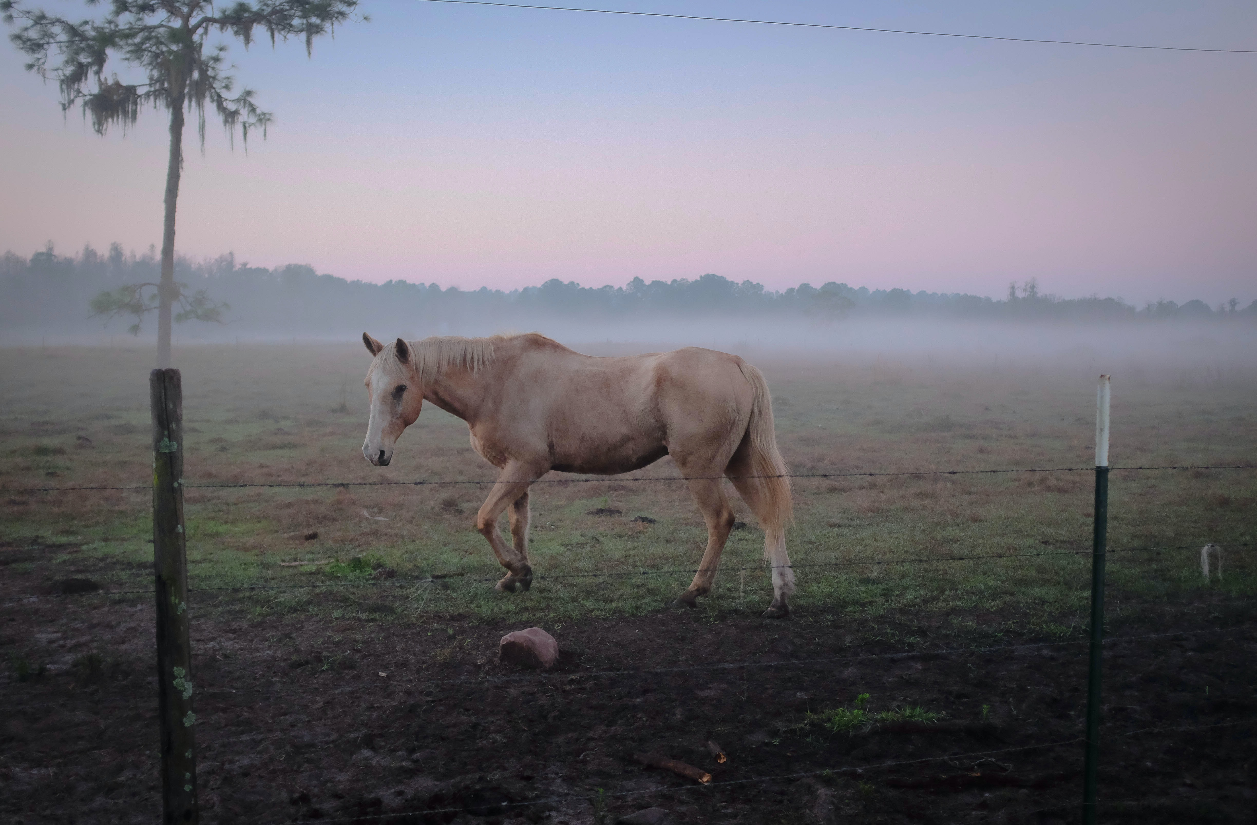 A palomino horse in a barbed wire enclosure on a misty morning