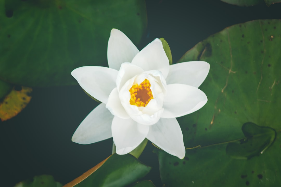 A white water lily with a golden center near lily pads on water