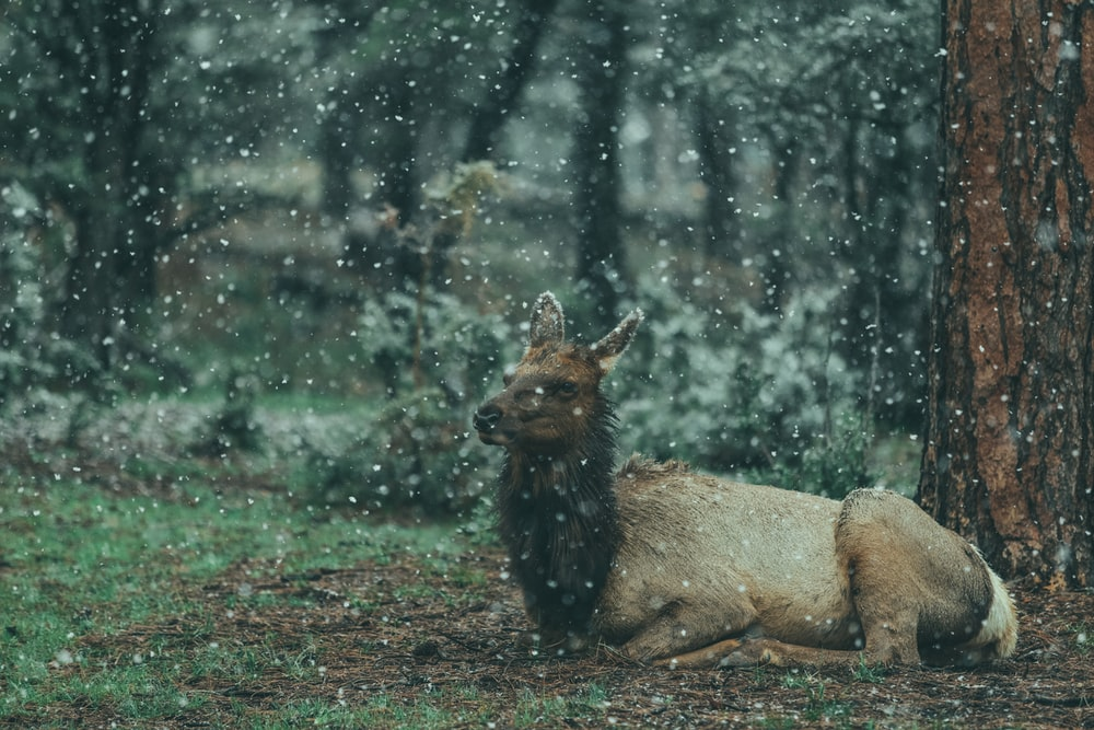 brown animal reclining on ground on forest