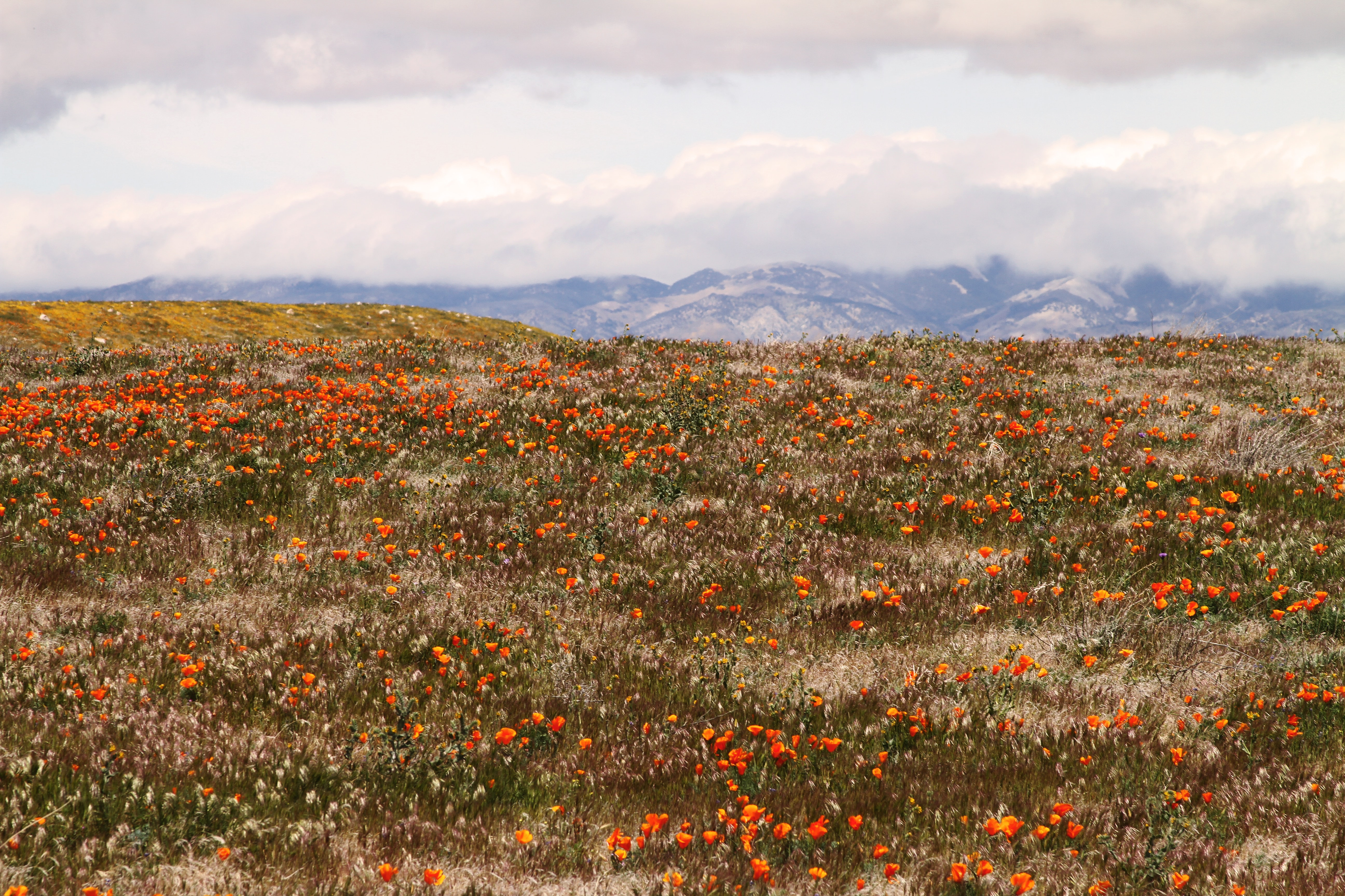 A meadow full of orange tulips with a mountain range on the horizon
