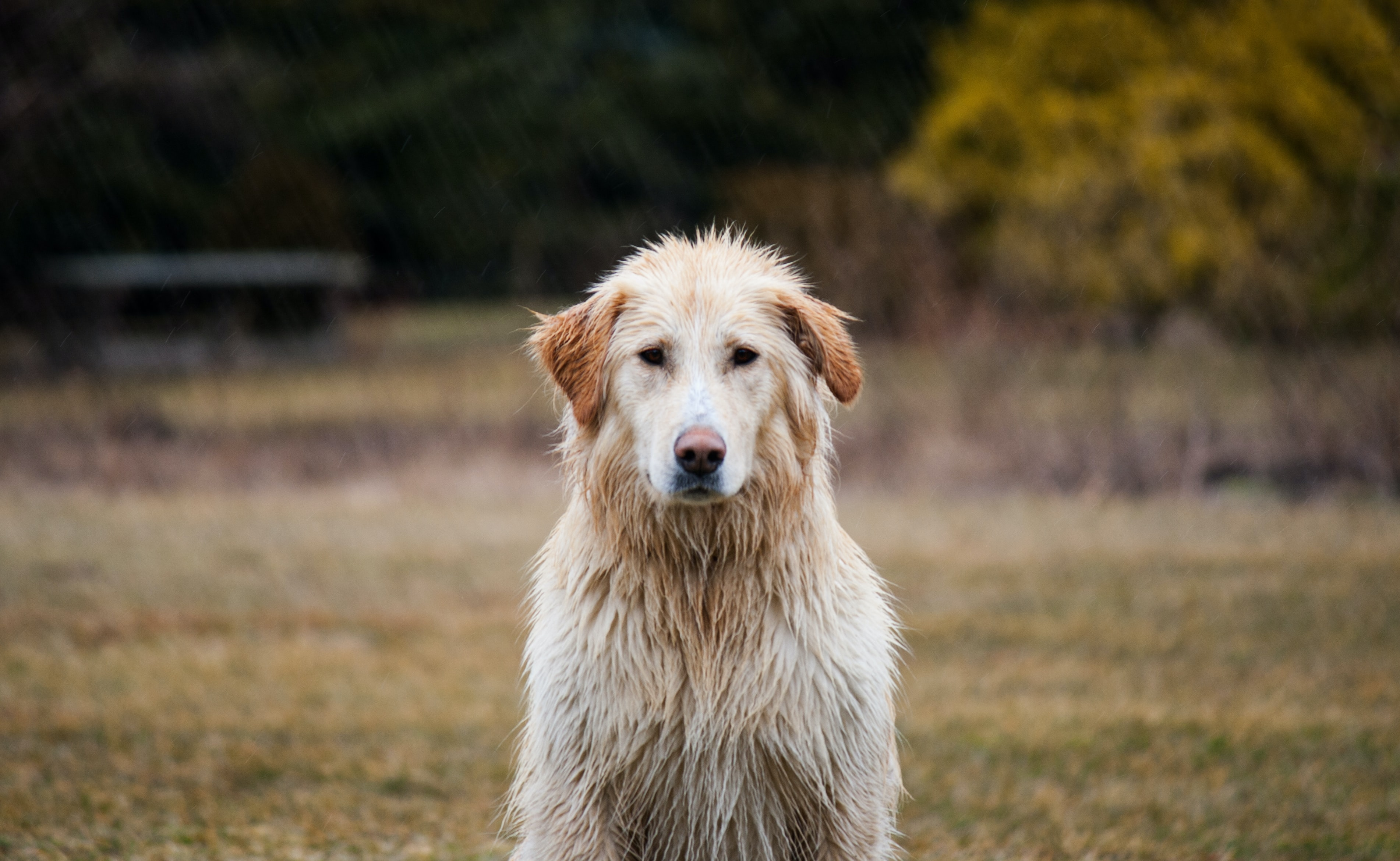 shallow focus photography of adult golden retriever