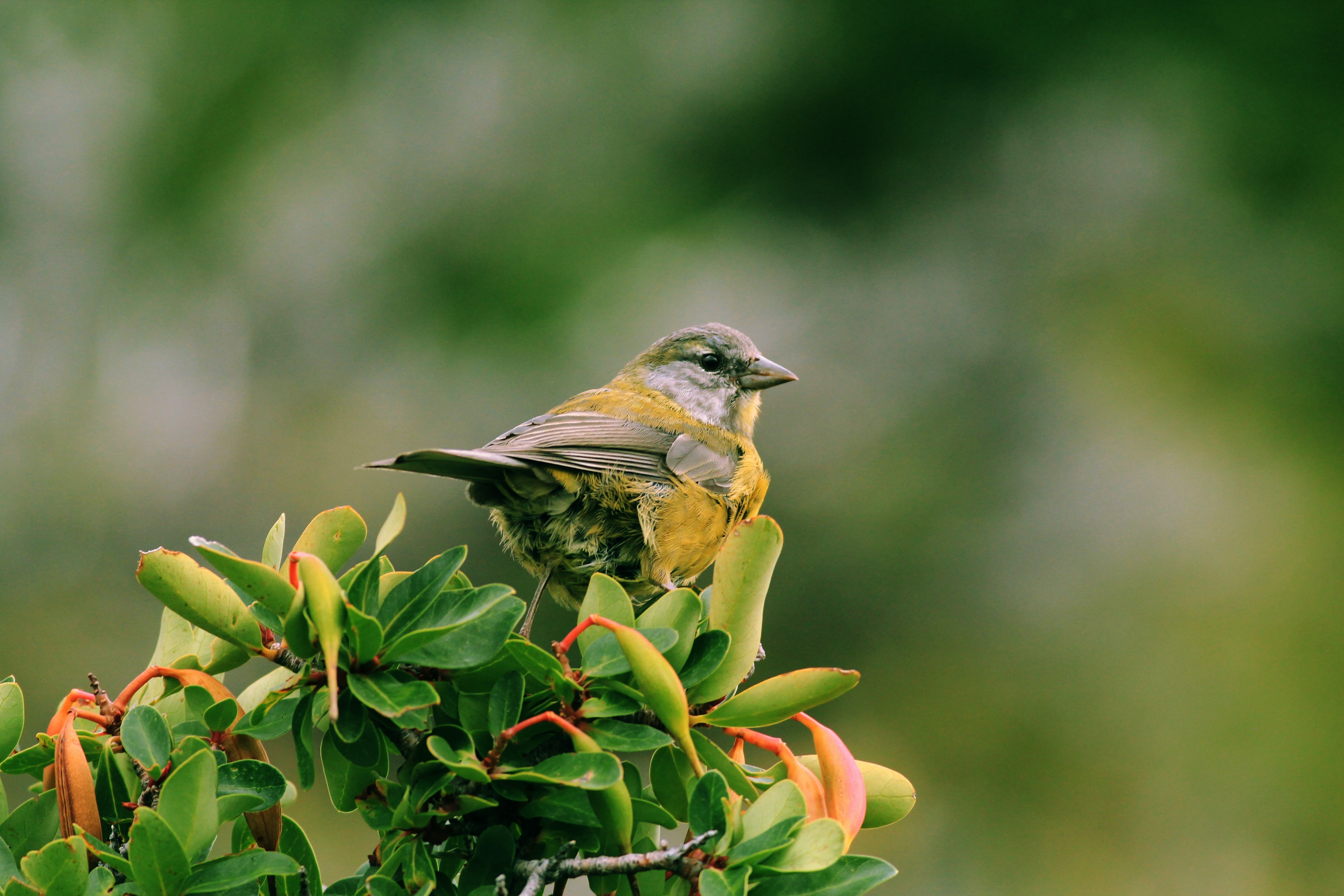 Small yellow and gray bird perched on a leafy branch in a sanctuary