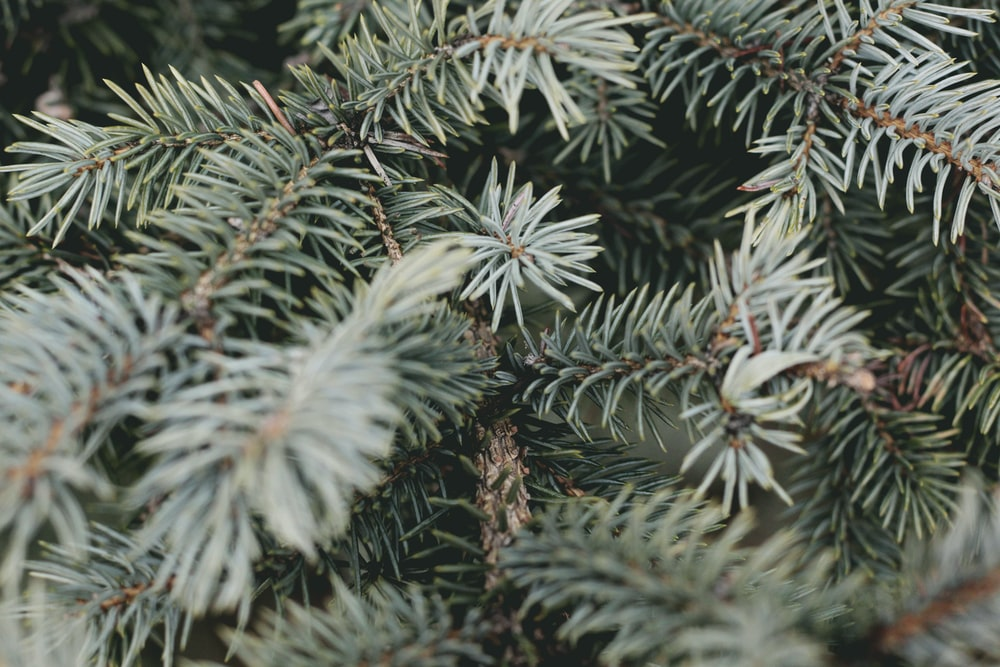 shallow focus photography of spruce tree
