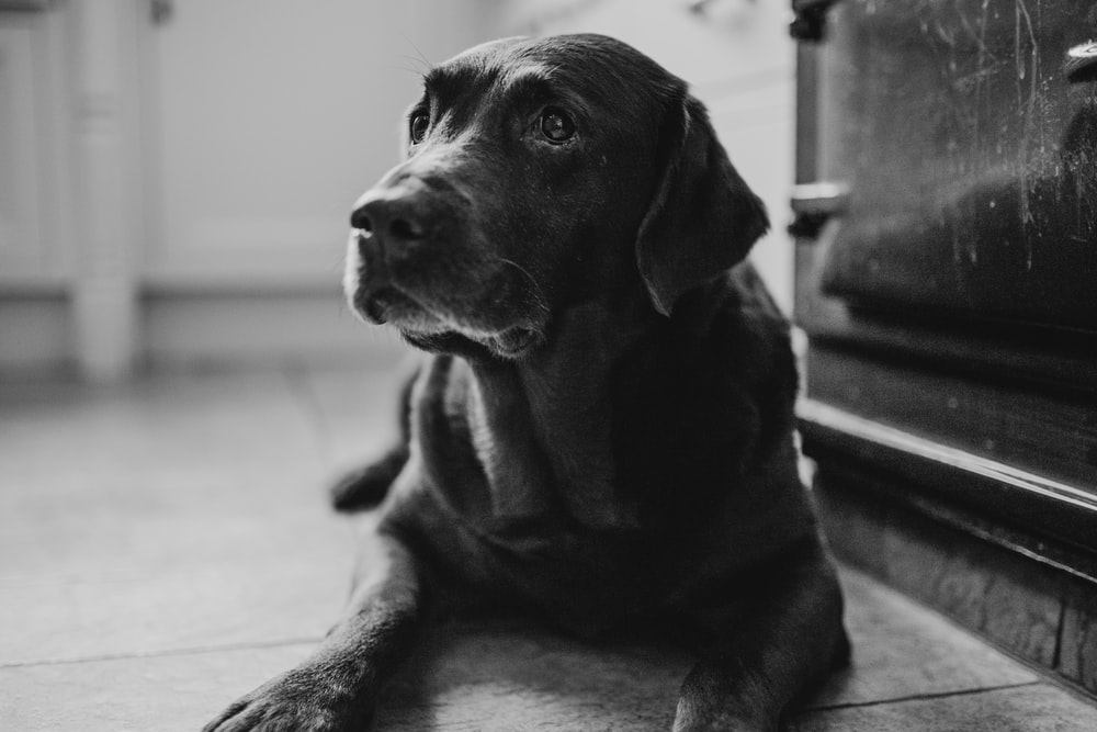 grayscale photography of Labrador retriever near wall