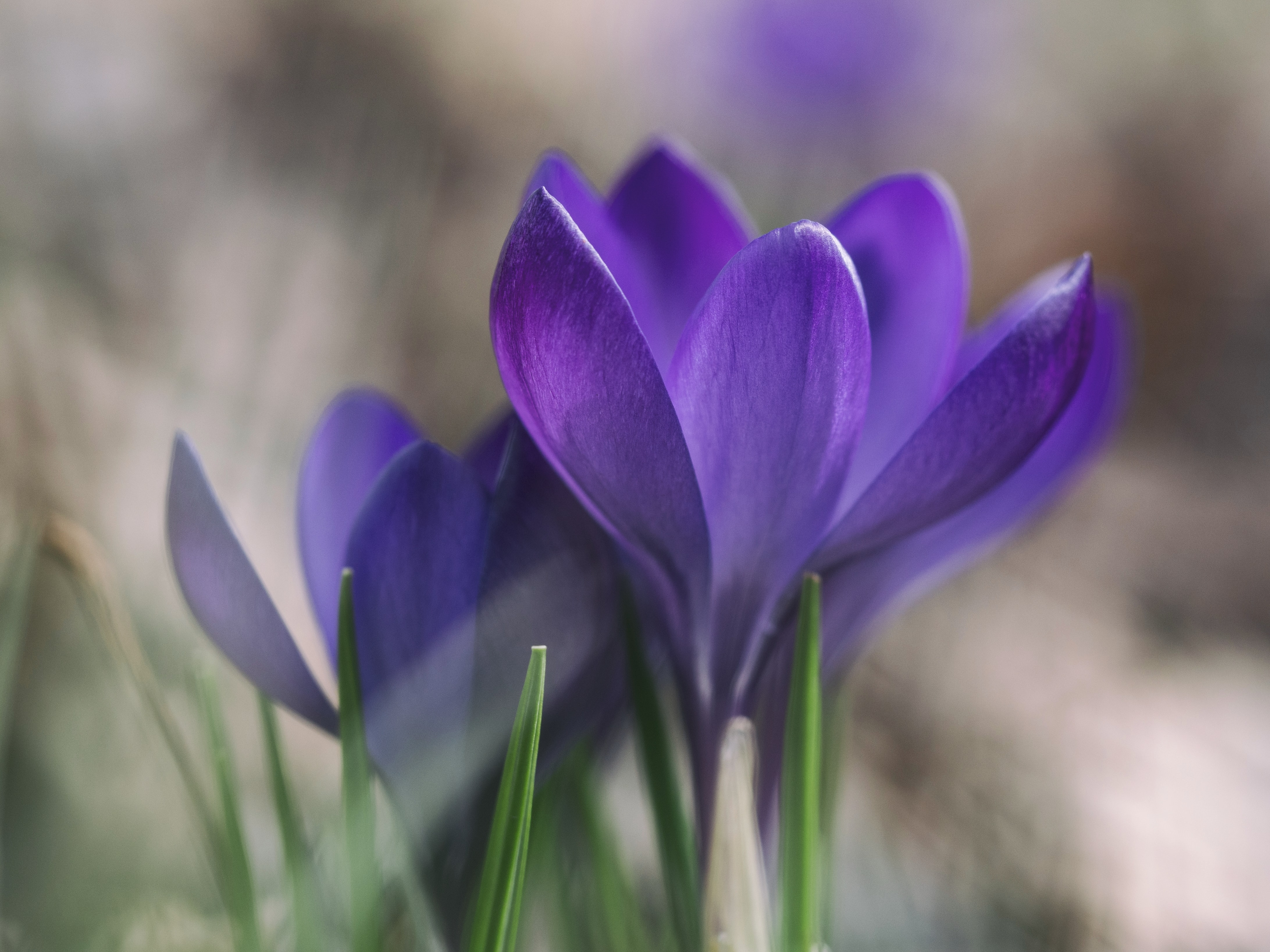 Close up of purple crocus flower pair in Spring