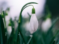 shallow focus photography of white tulips