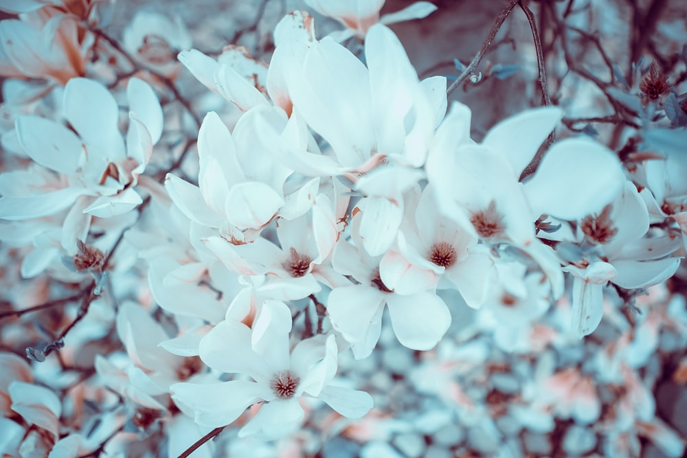 Magnolia flower pictures download free images on unsplash close up of white magnolia flower in spring teddington mightylinksfo