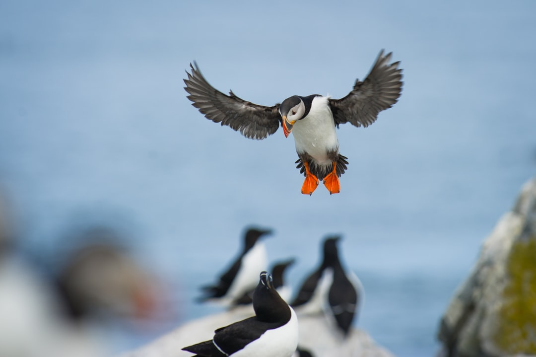 An Atlantic Puffin coming in to land with its wings spread and big orange feet down while a Razorbill sits on a rock below on Machias Seal Island.
