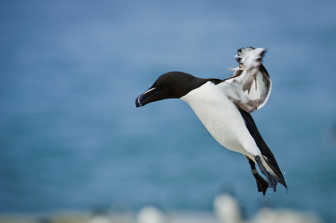 A Razorbill comes in to land on Machias Seal Island with its feet hanging down in front of the blue Atlantic Ocean.