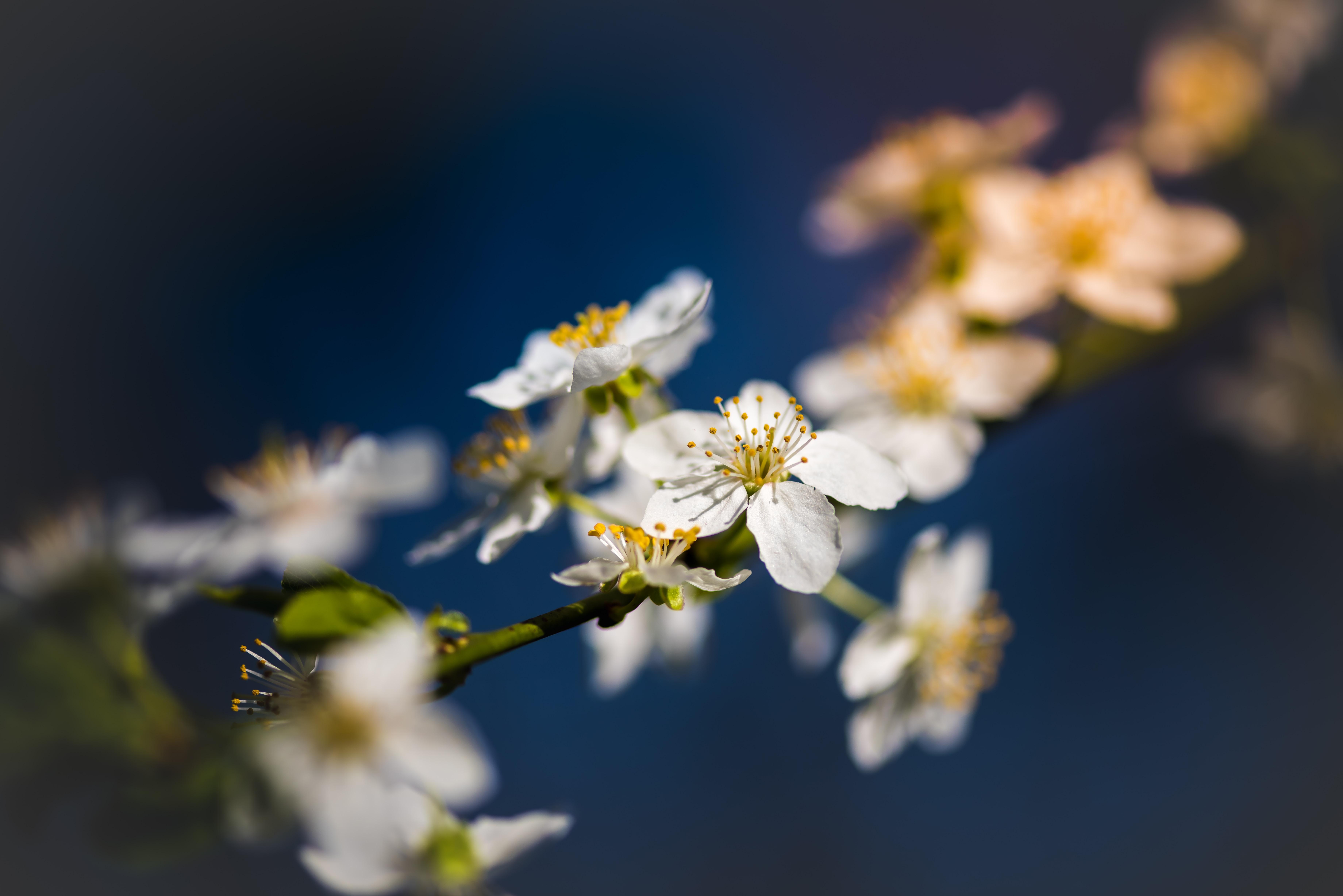 White blossom flowers on branch with dark blue background in Spring, Parcul Cismigiu