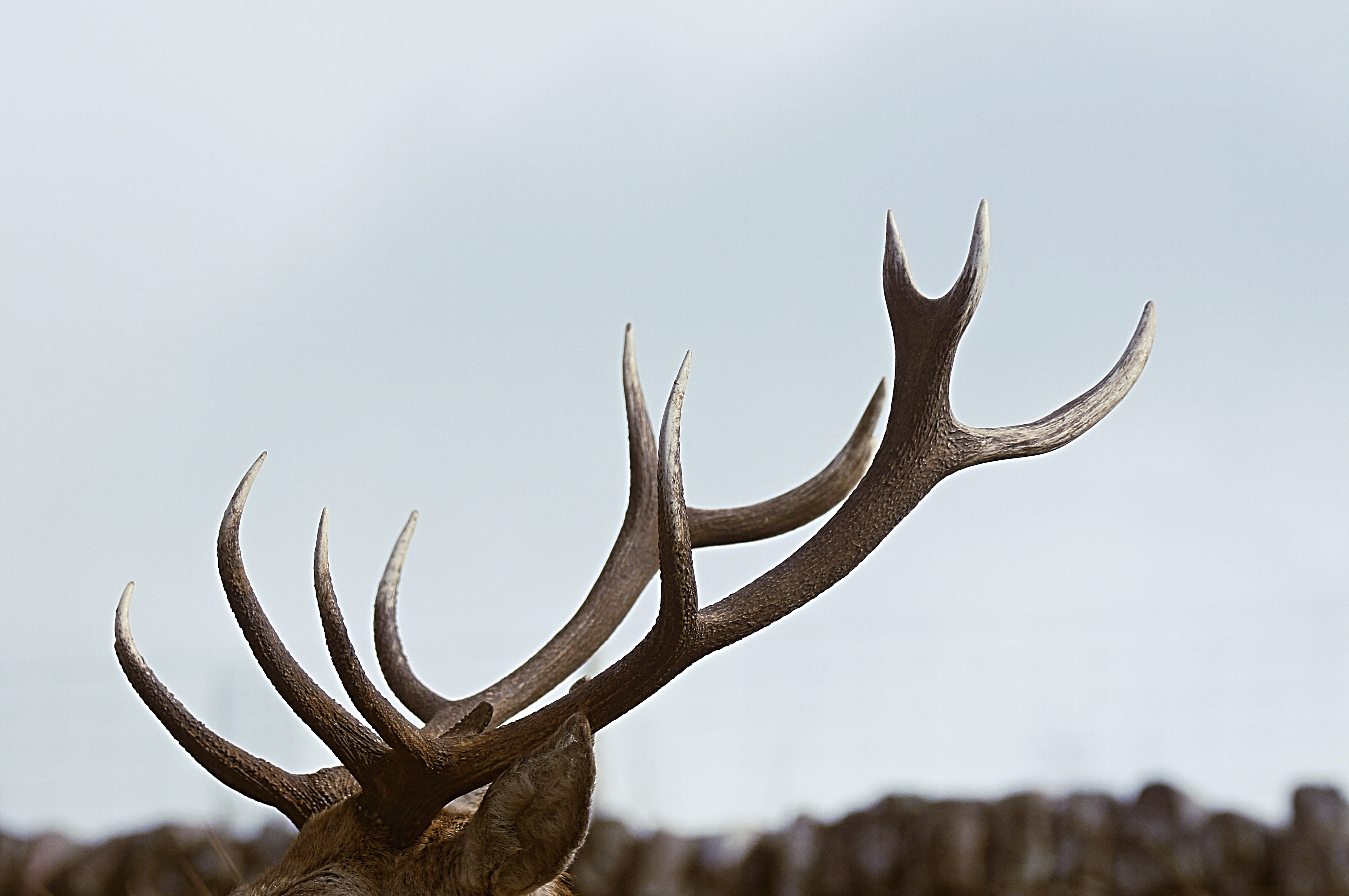 close-up photo of antler during daytime