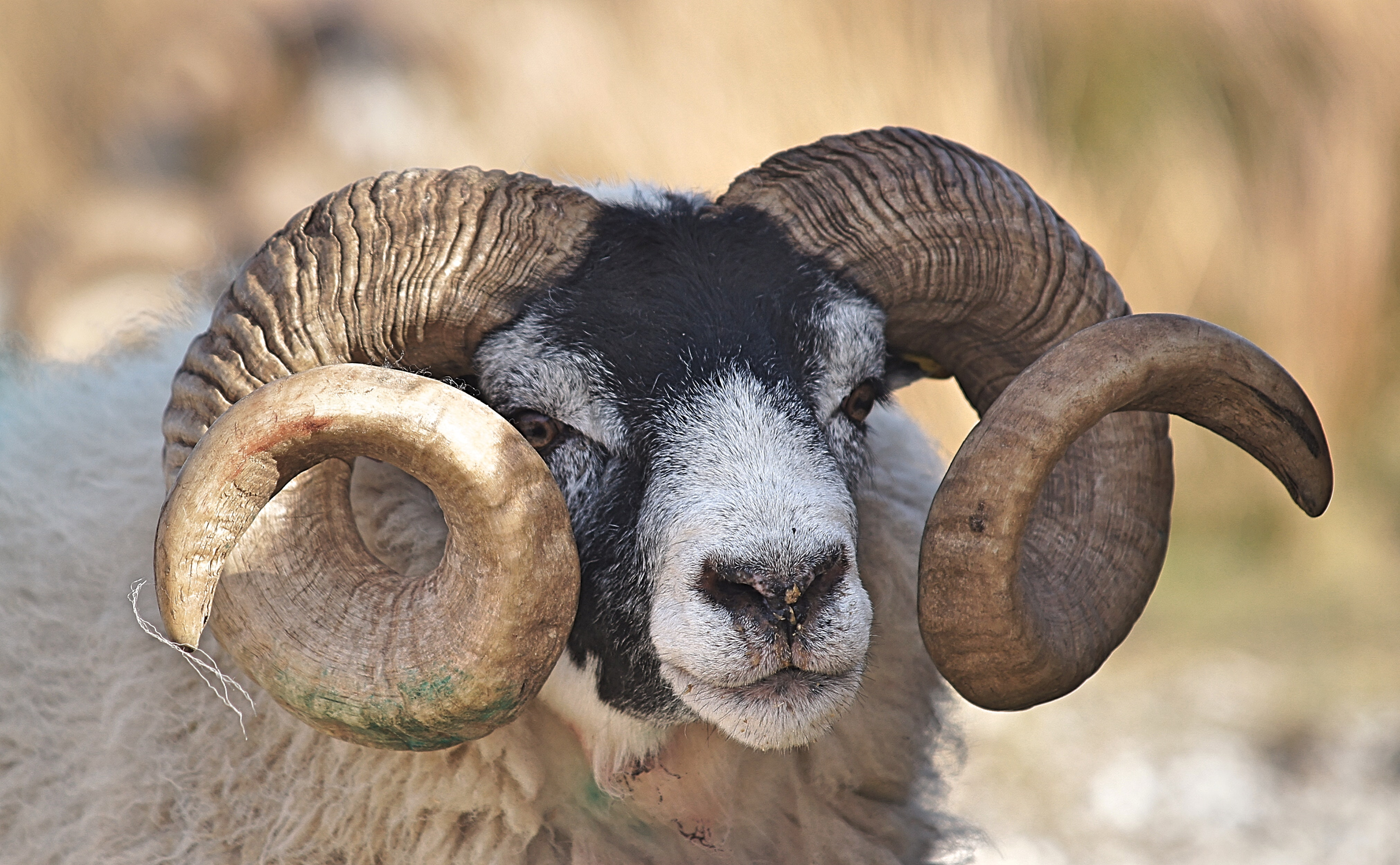 A ram with a black colored head and curling horns