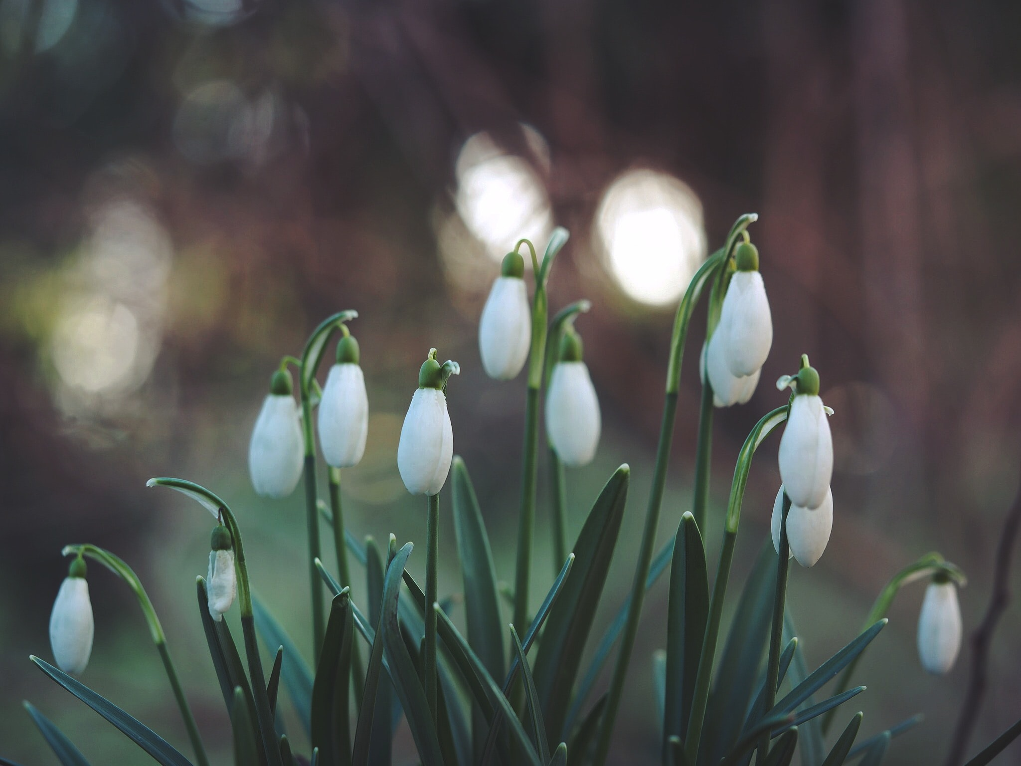 Several white snowdrop flowers blooming, growing in garden in Spring