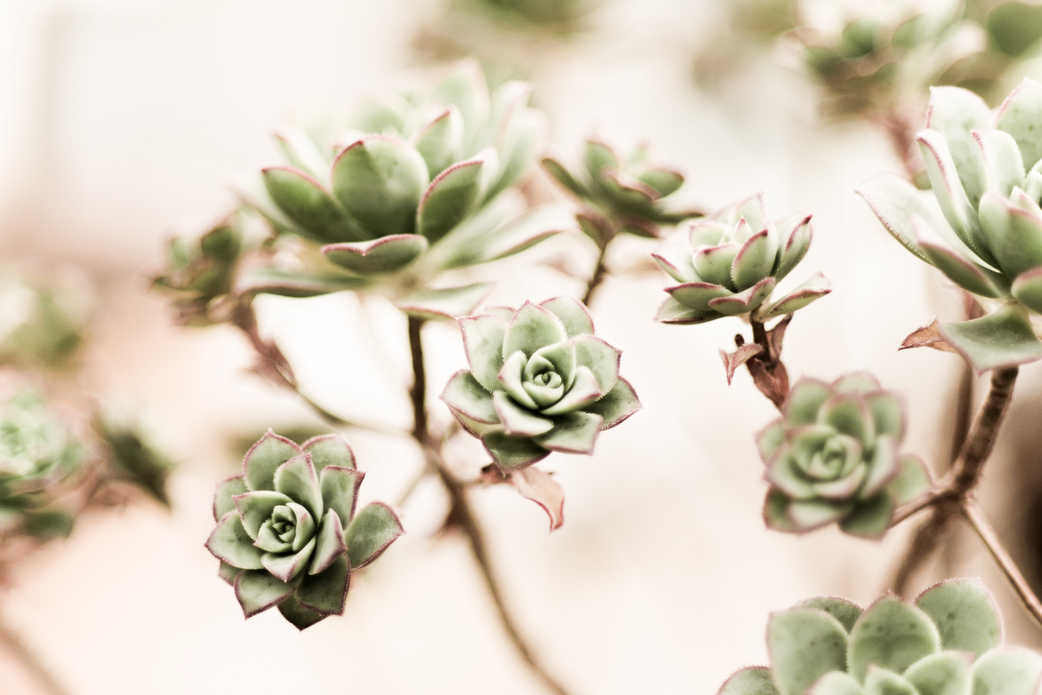green Prince succulent