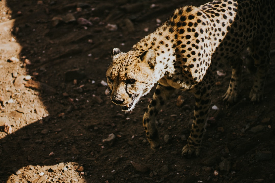 """He got named Puncho after he """"punched"""" his care taker one time during feeding. It's been 10 years since he and his 3 siblings where relocated to their home. I think the story was some farmers killed/found their mother dead, and Cheetah Conservation Centre were contacted. Cheetahs are surprisingly smaller than expected, especially the females."""
