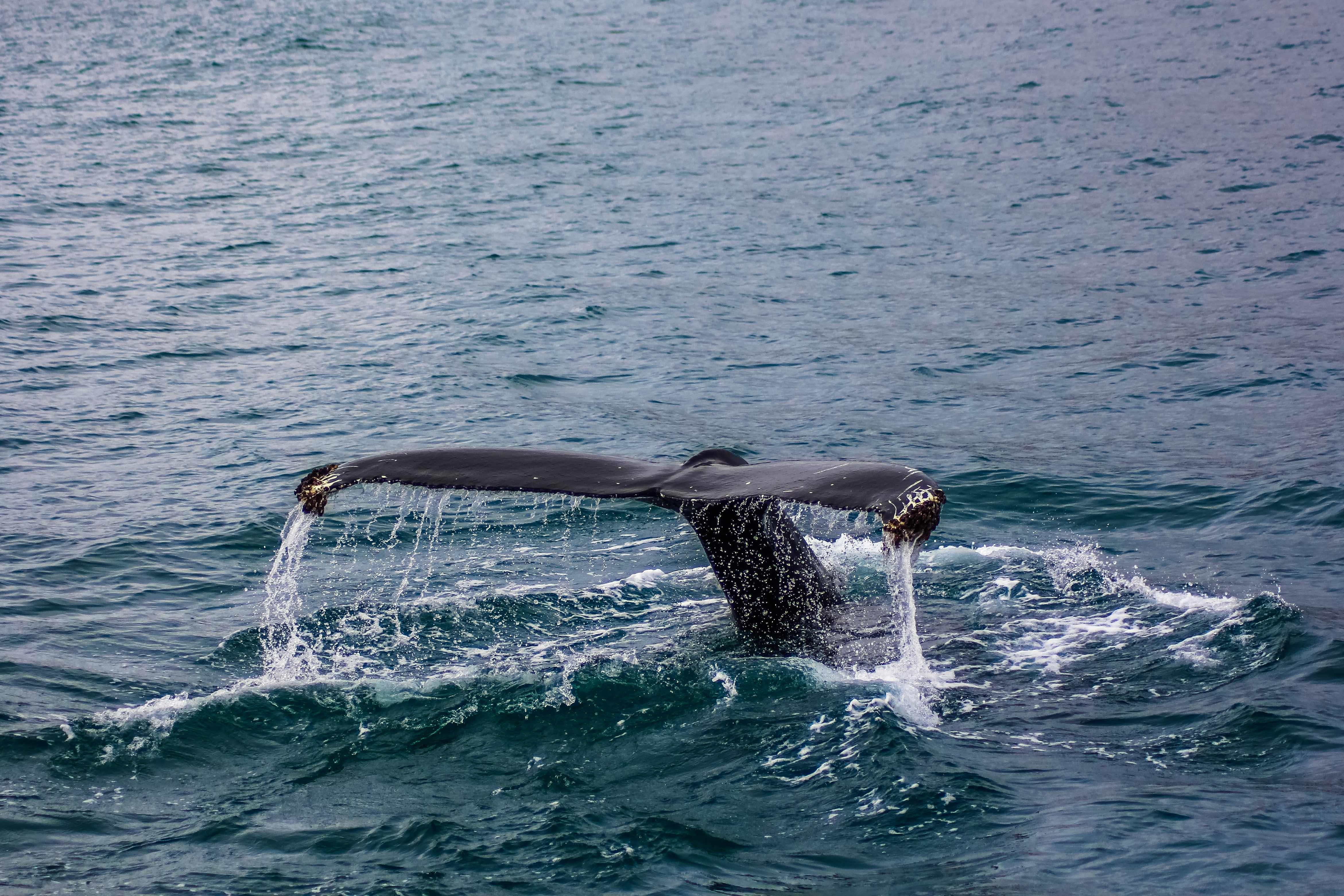 black tail of whale underwater