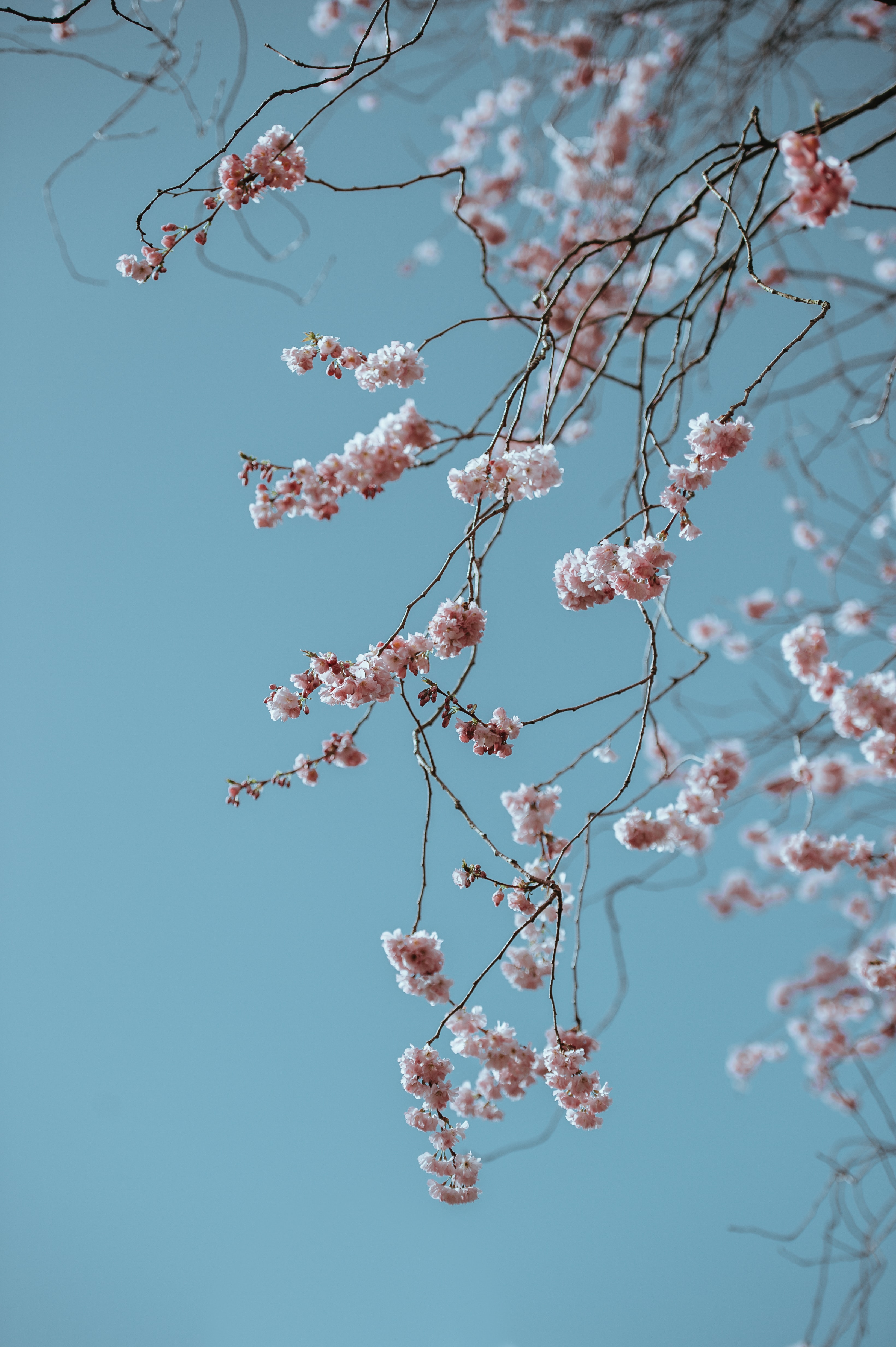 Branch with pink blossom against clear blue sky in Spring