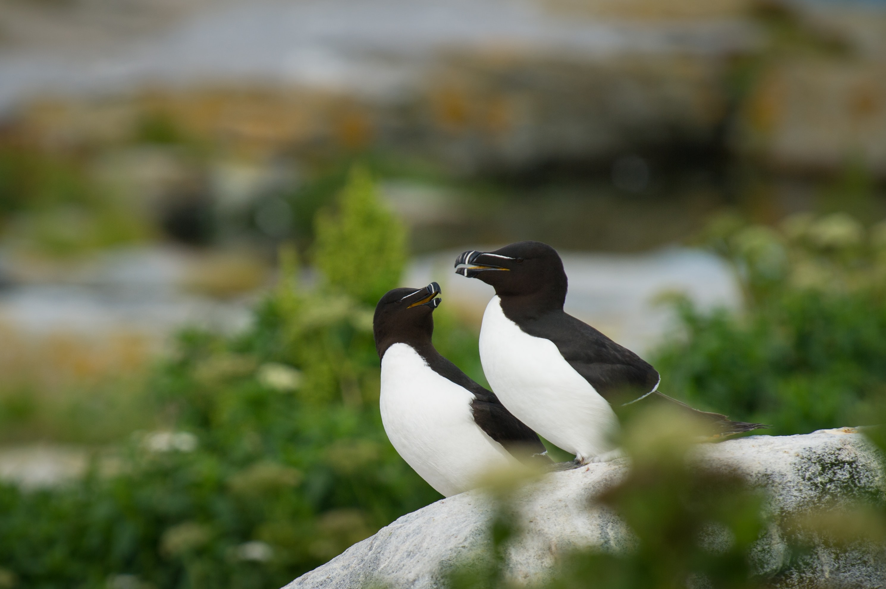 Two black and white birds huddled closely on a white rock
