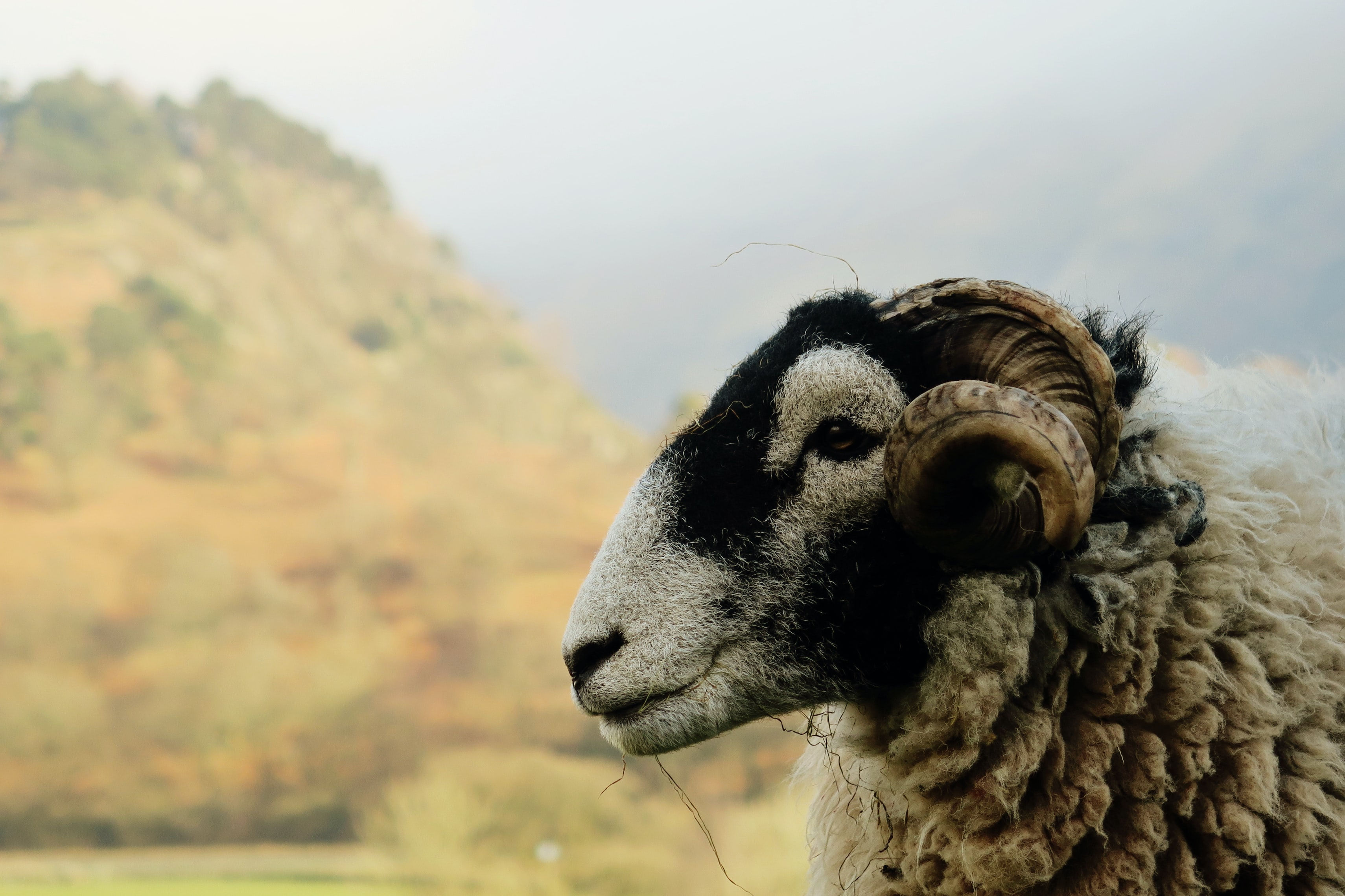 Happy mountain ram stands in the countryside
