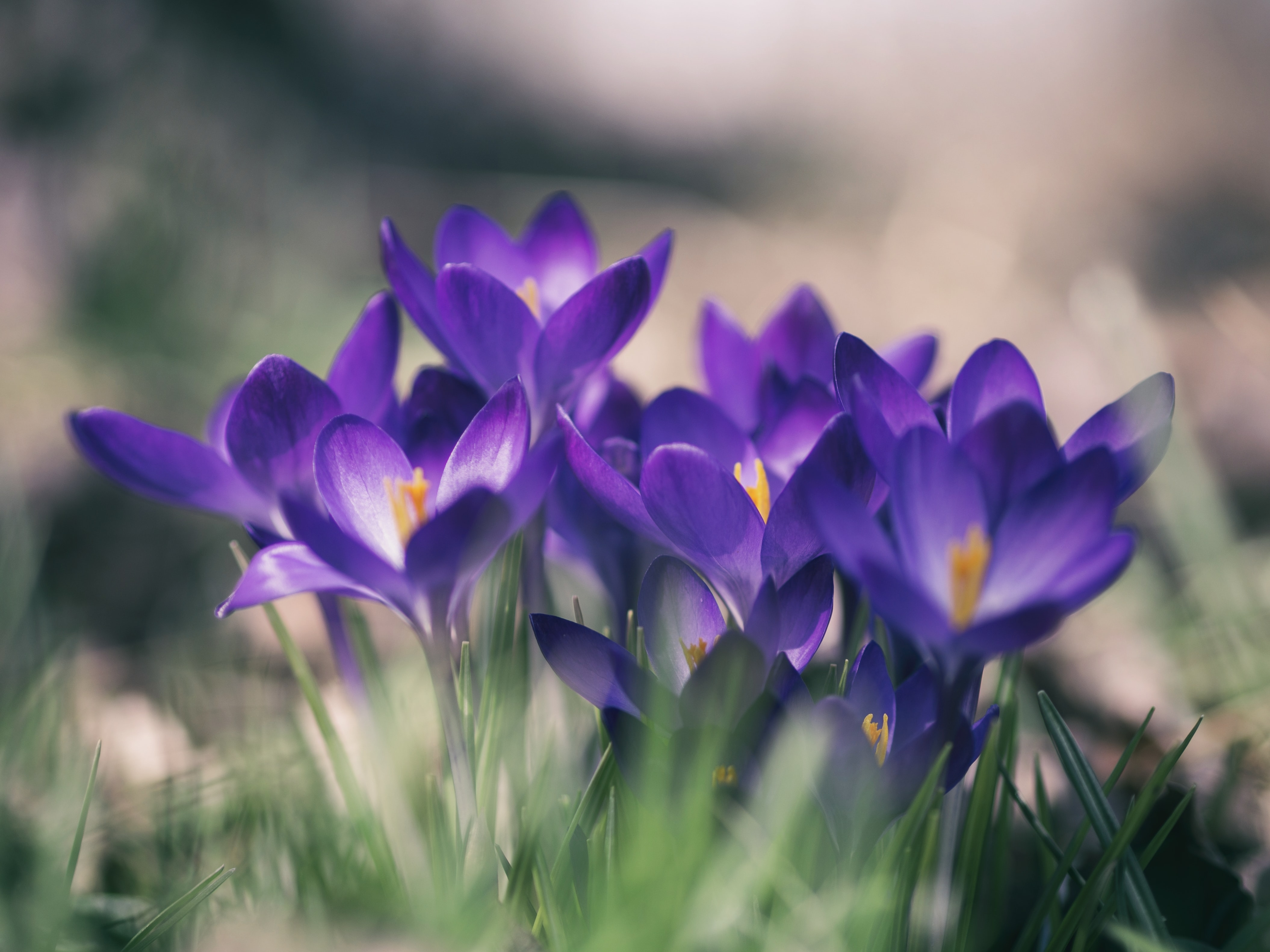 Close up for group of crocus flowers in Spring