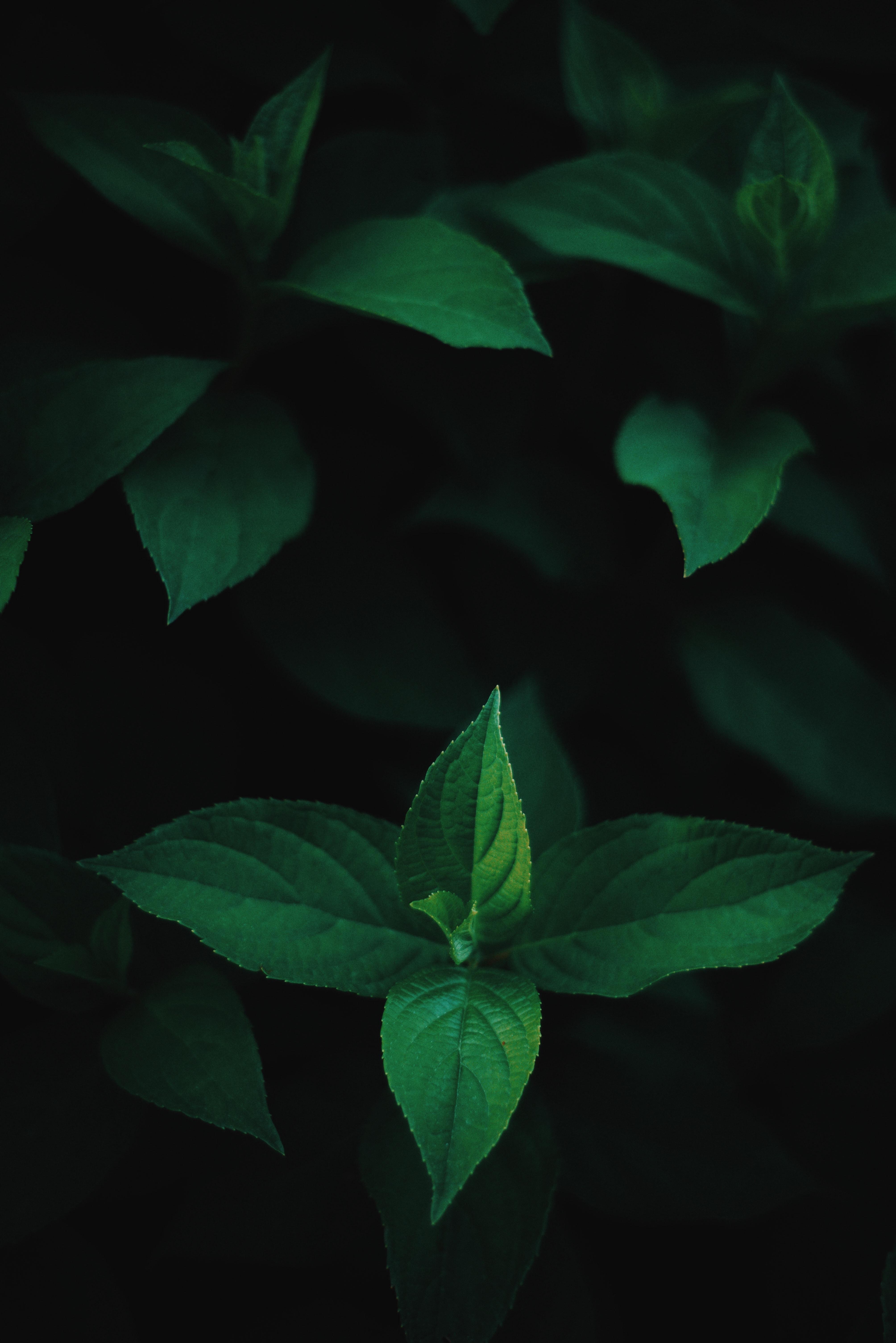 green mint on black background