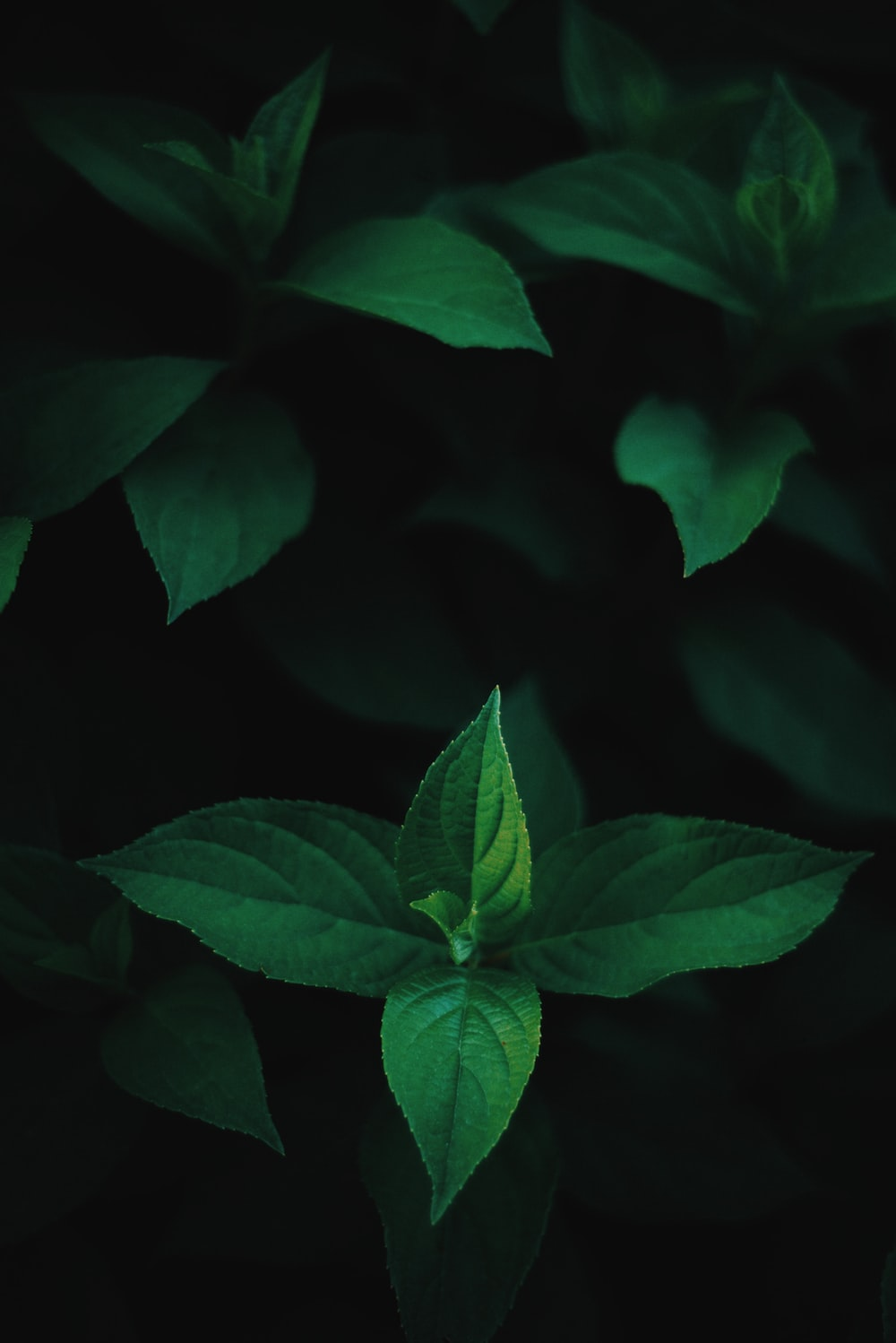 green mint on black background