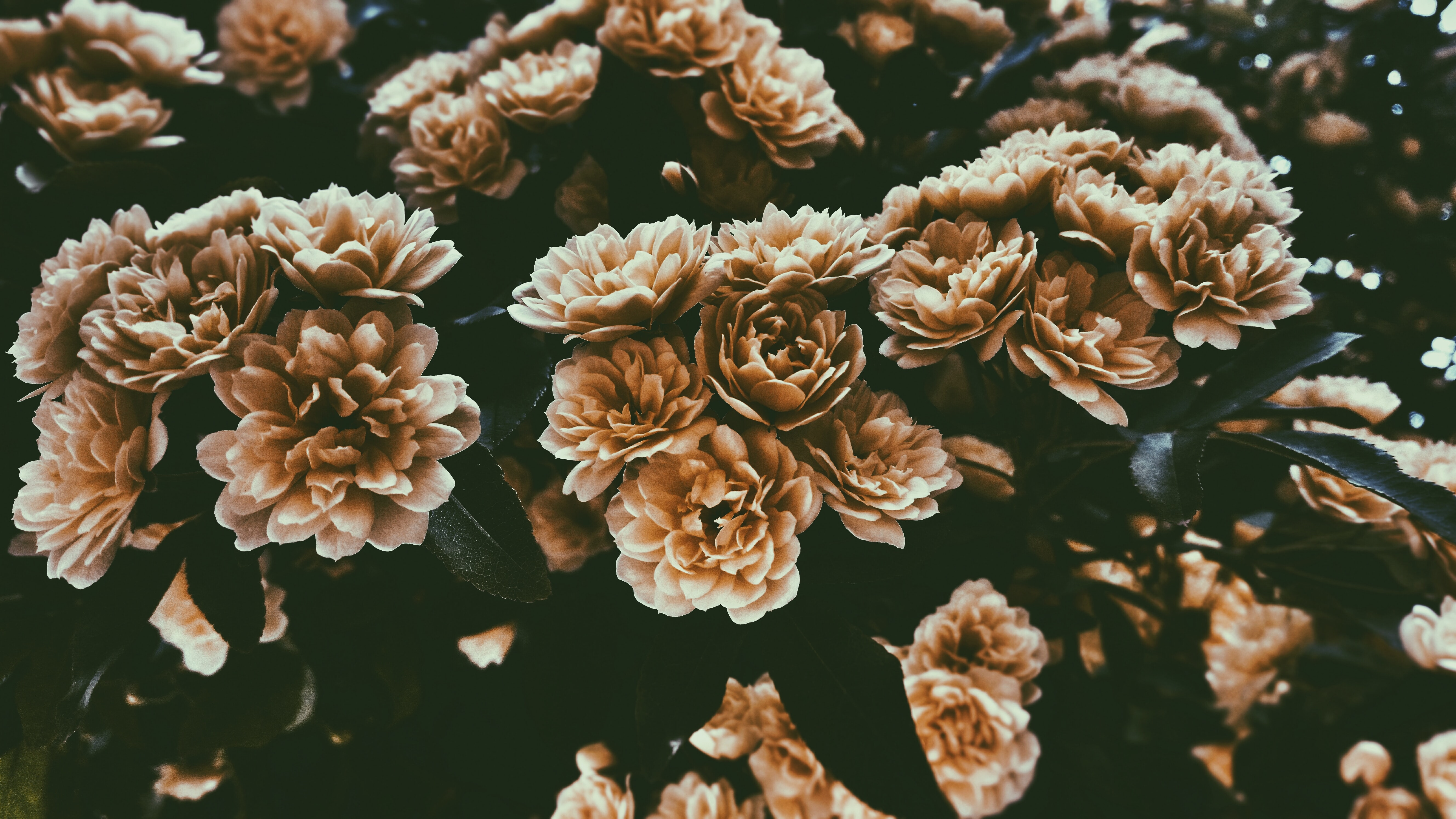 A desaturated shot of large rose-like flowers