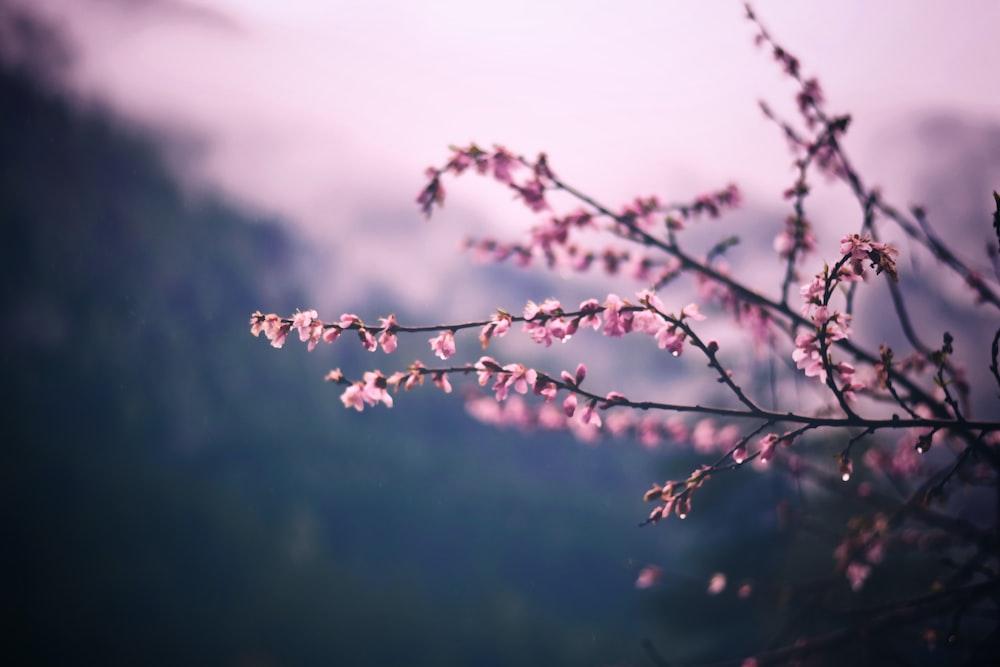 focus photo of pink petaled flowers