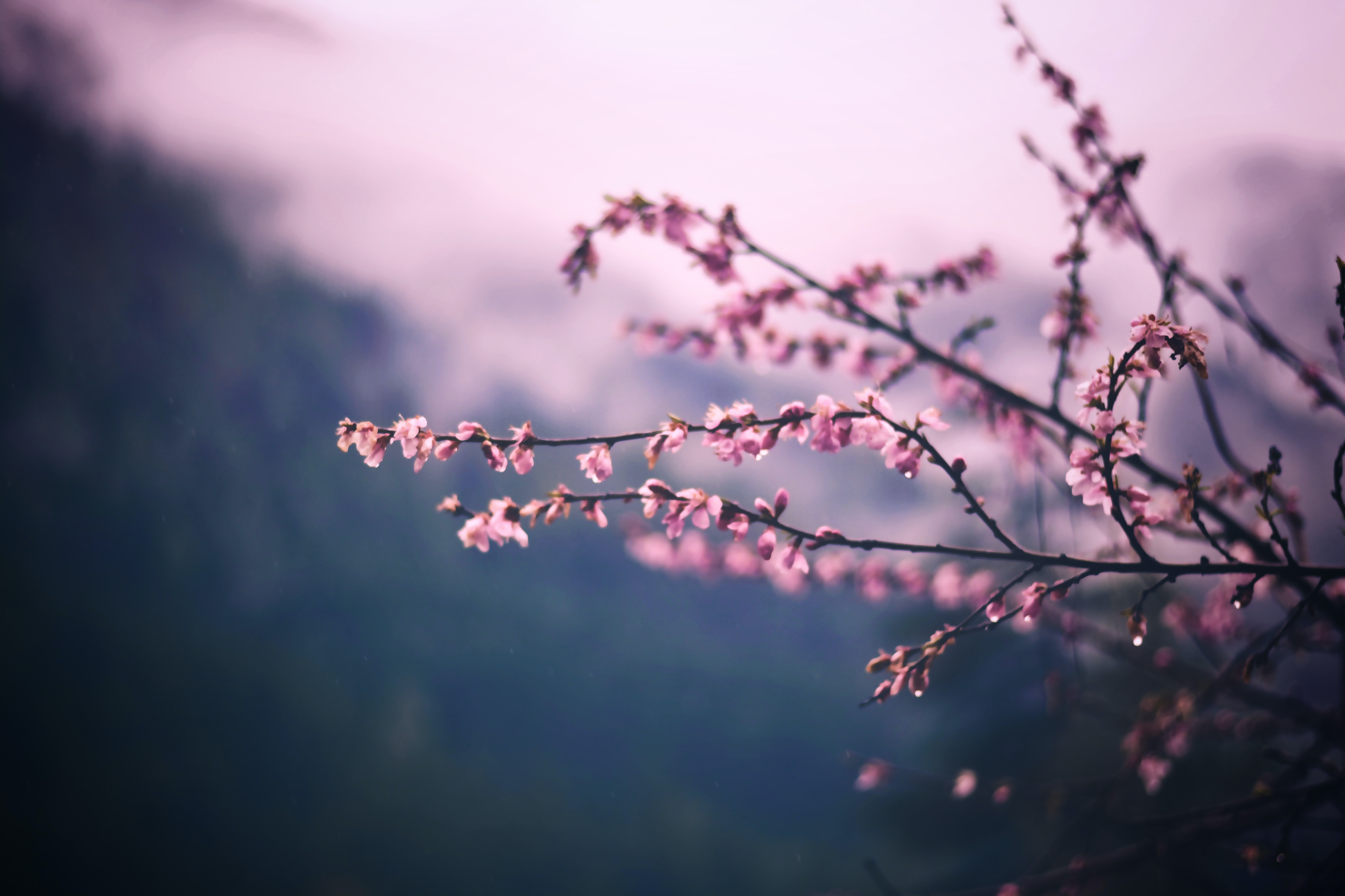 Pink blossom branch with mountain valley background
