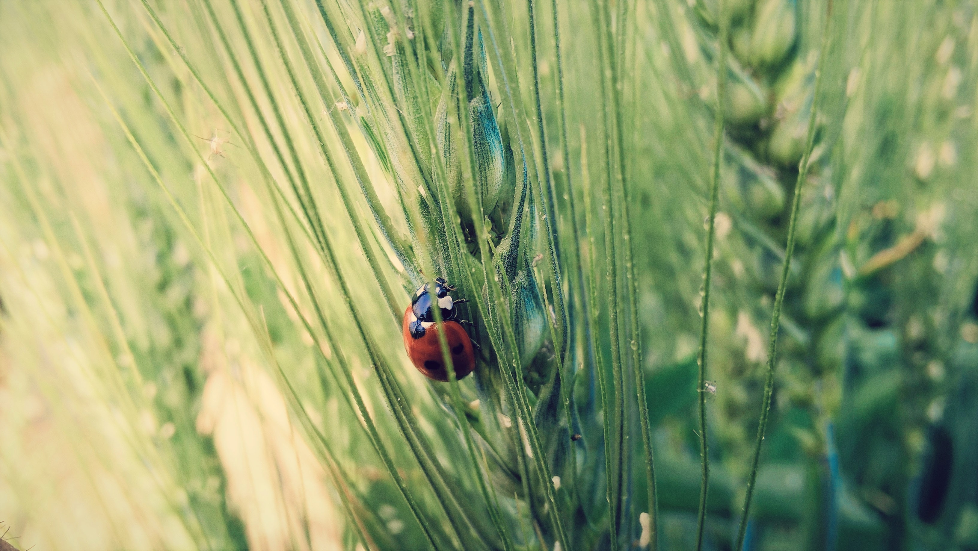 Ladybug crawls up the leaves of tall grass