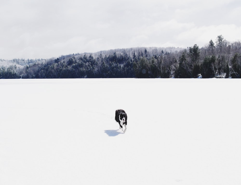 white and black dog walking on white snow field during daytime