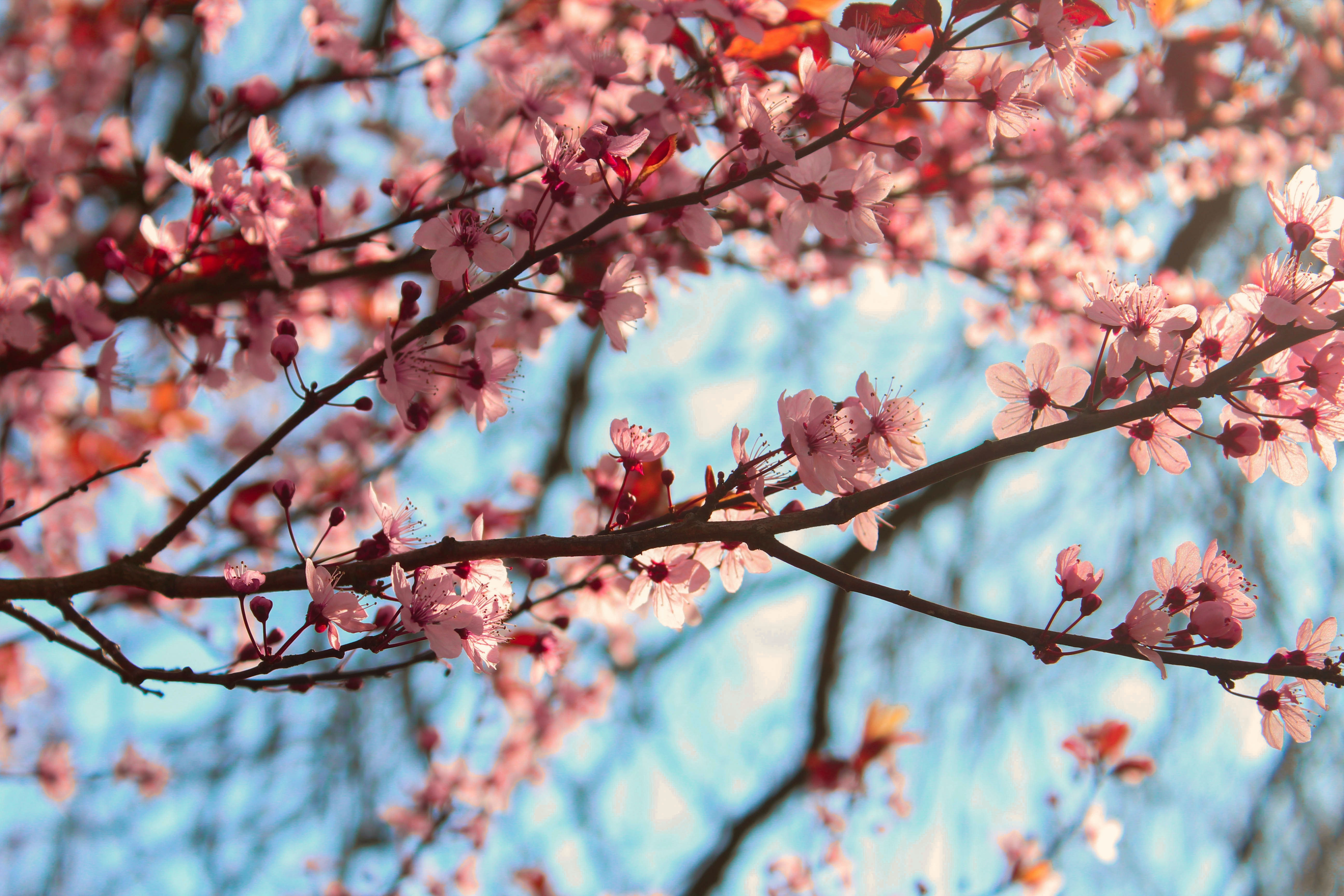 Pink cherry blossom flowers on branches against a pale blue sky
