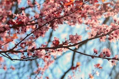pink petaled flowers tree flora zoom background