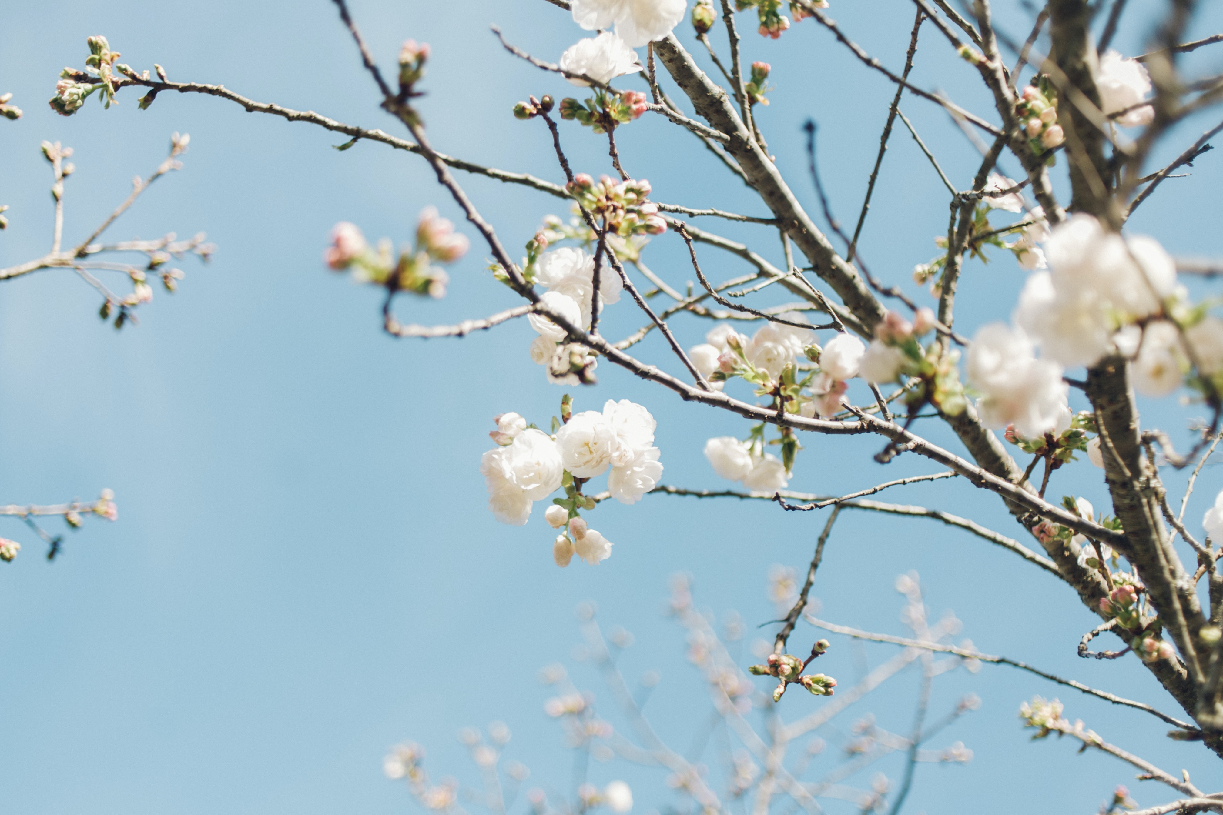 Cherry blossom in bloom on branches with clear blue sky in Spring from below