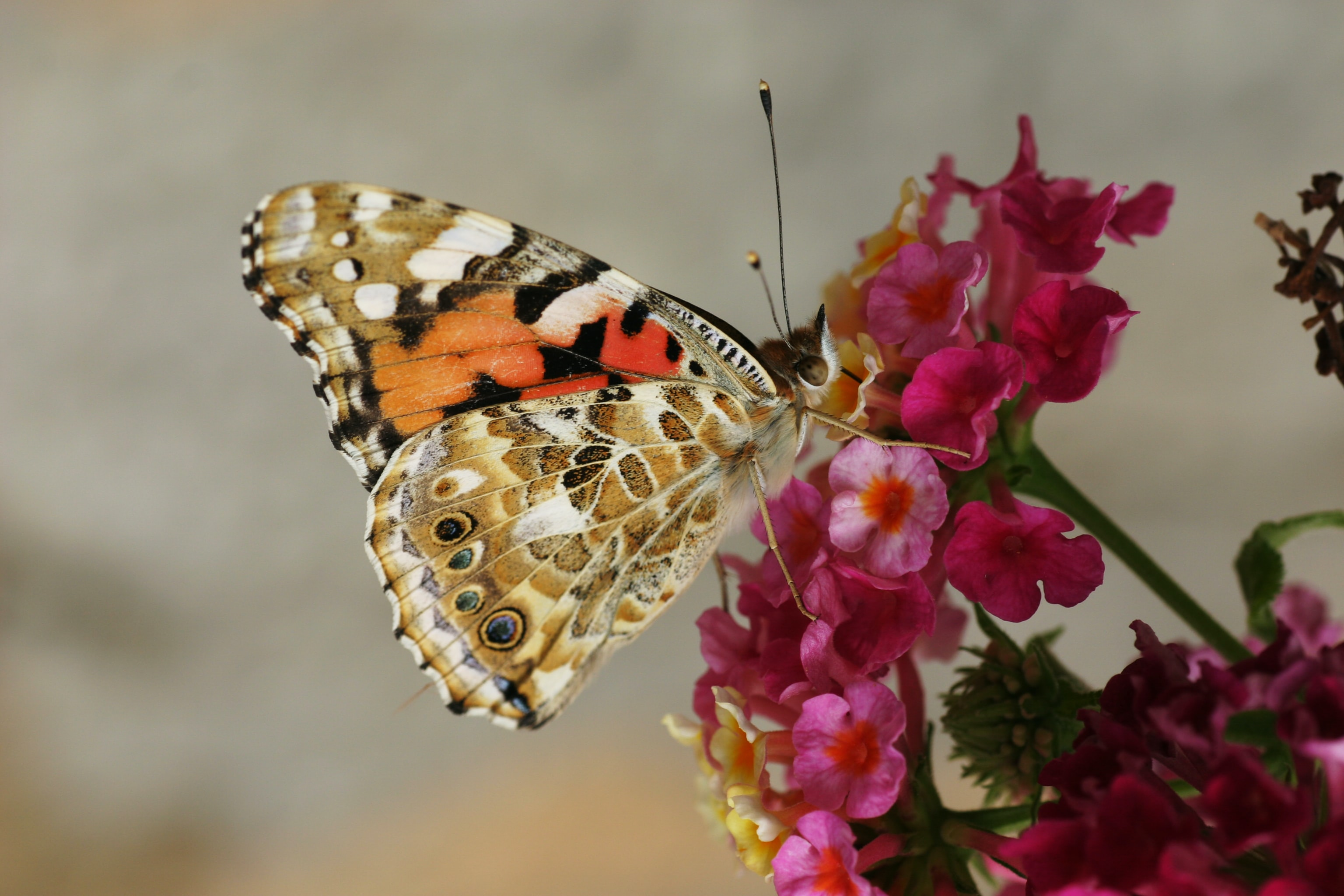 Butterfly insect landing on pink flower plant in garden in Spring, Provence
