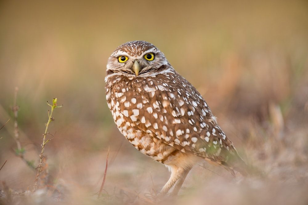 brown owl in bokeh photography