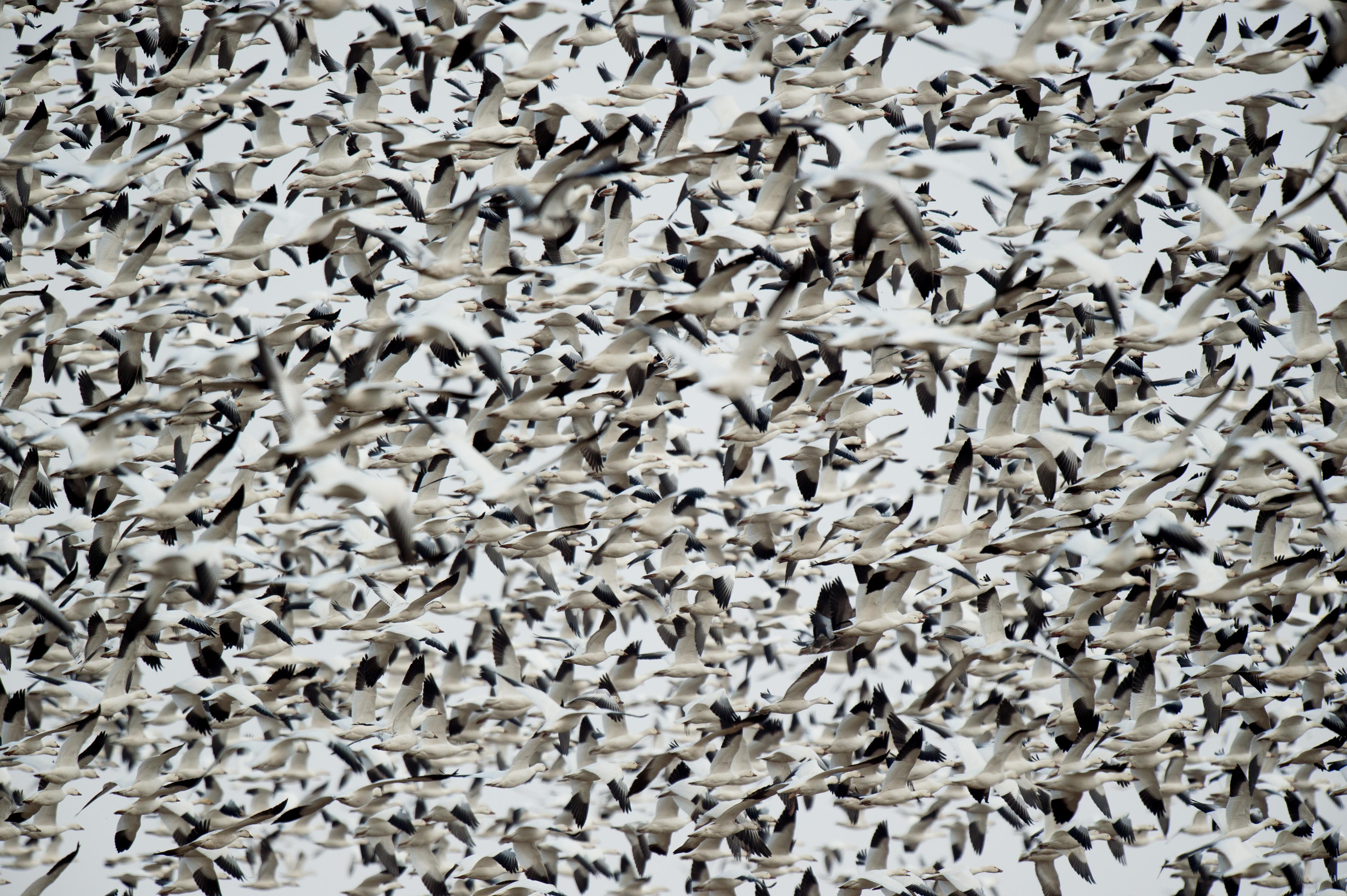 flock of white-and-black birds