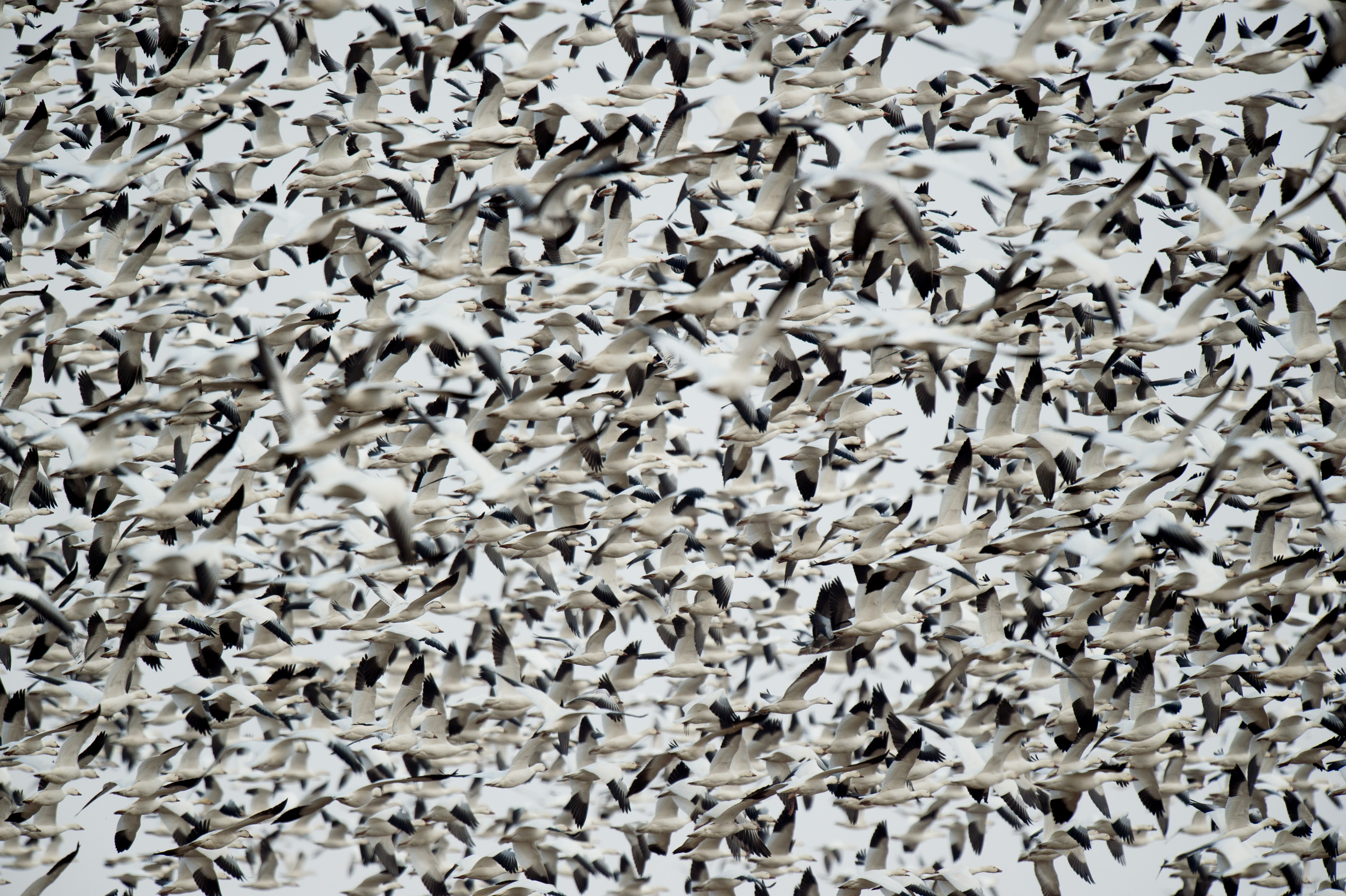 flock of white-and-black birds