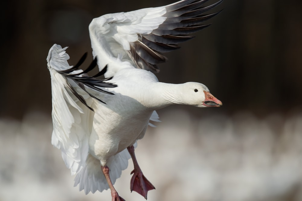 close-up photography of white flying goose during daytime