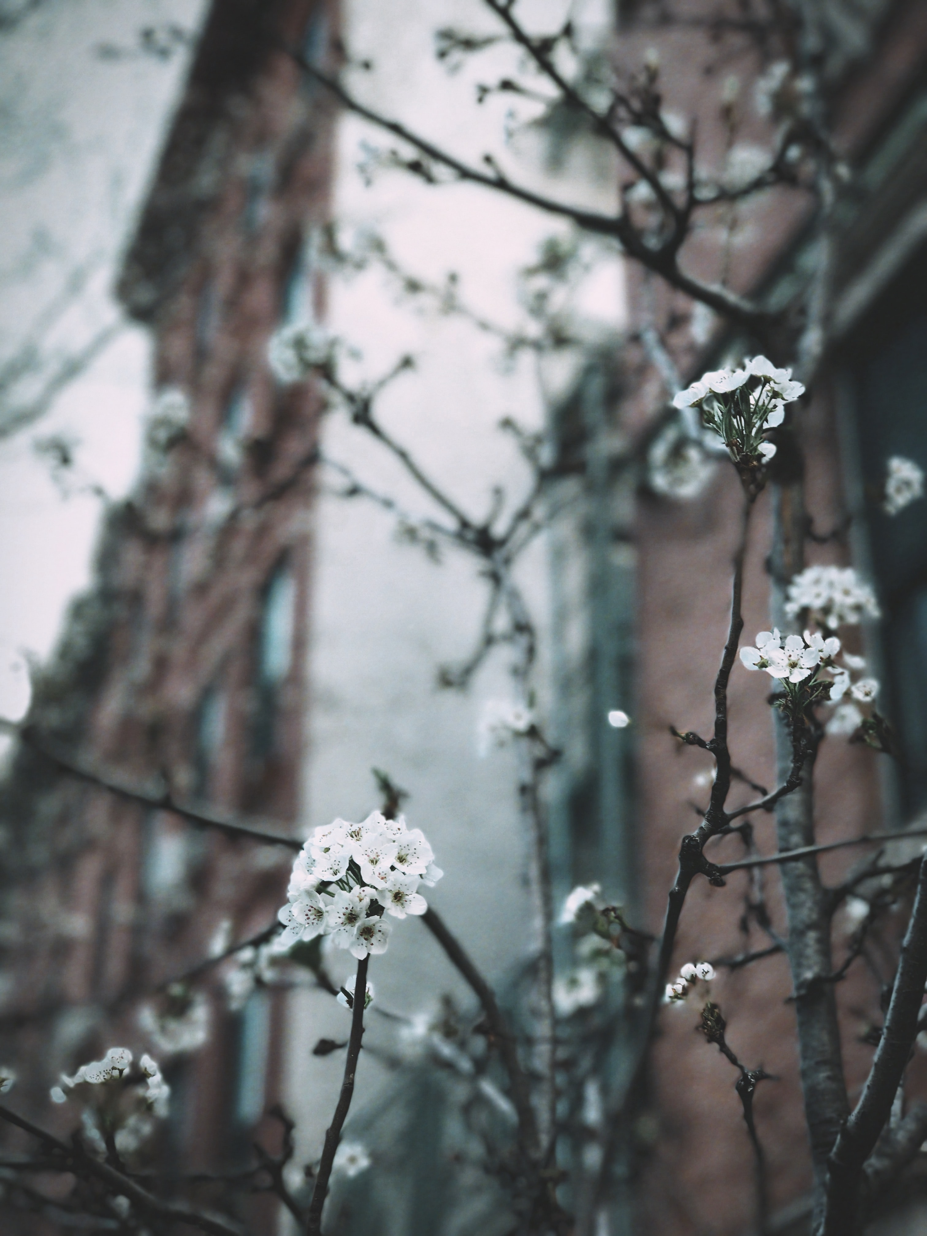 Cherry blossom twig in front of urban redbrick building in Spring