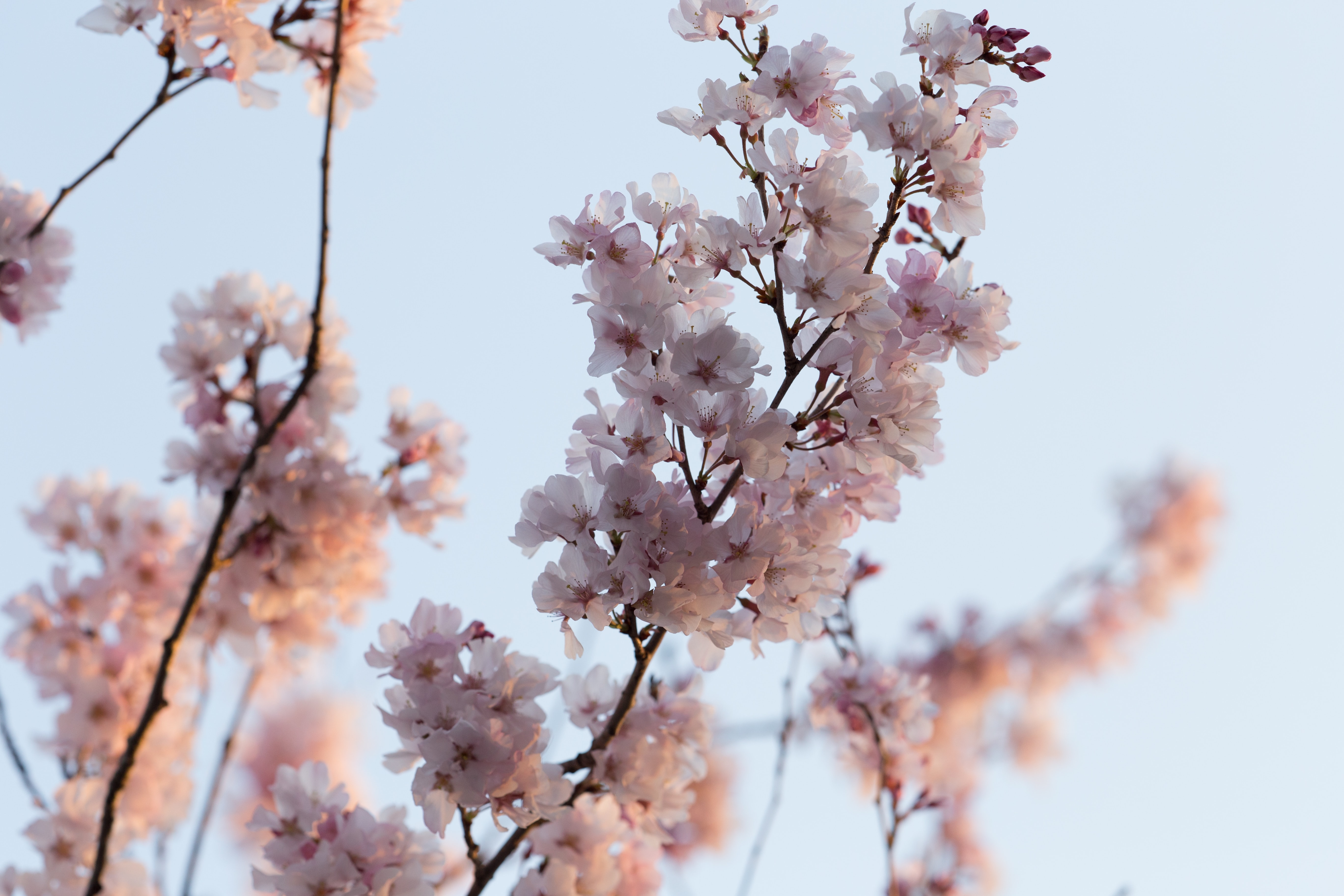Close up of pink blossom and branch in against clear sky in Spring, Takasaki