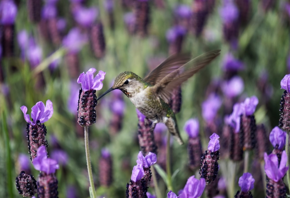 macro photography of green hummingbird on purple flowers