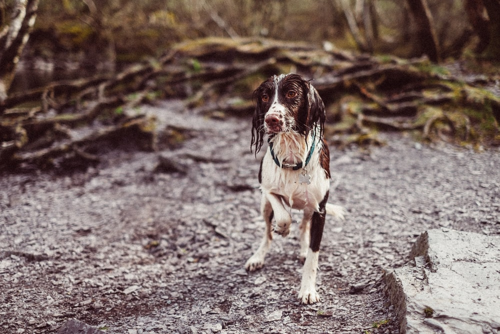 short-coated white and brown dog on brown soil