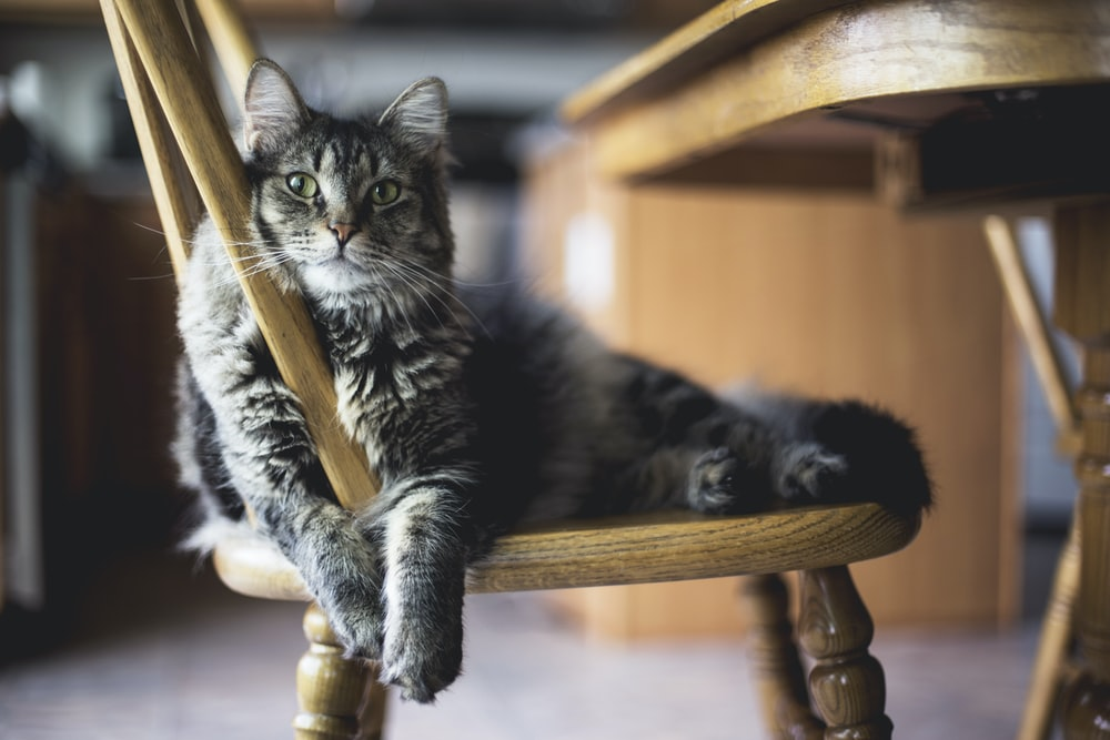 brown tabby cat on wooden windsor chair