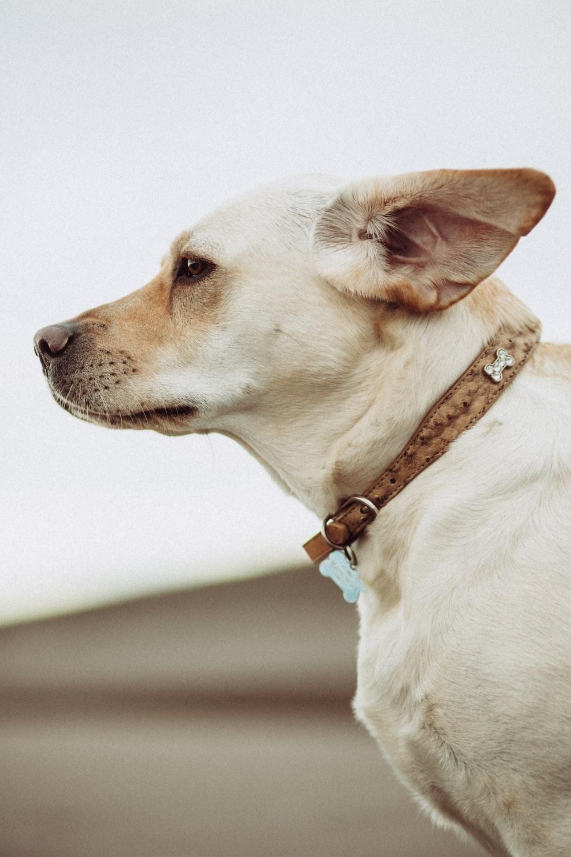 short-coated beige dog
